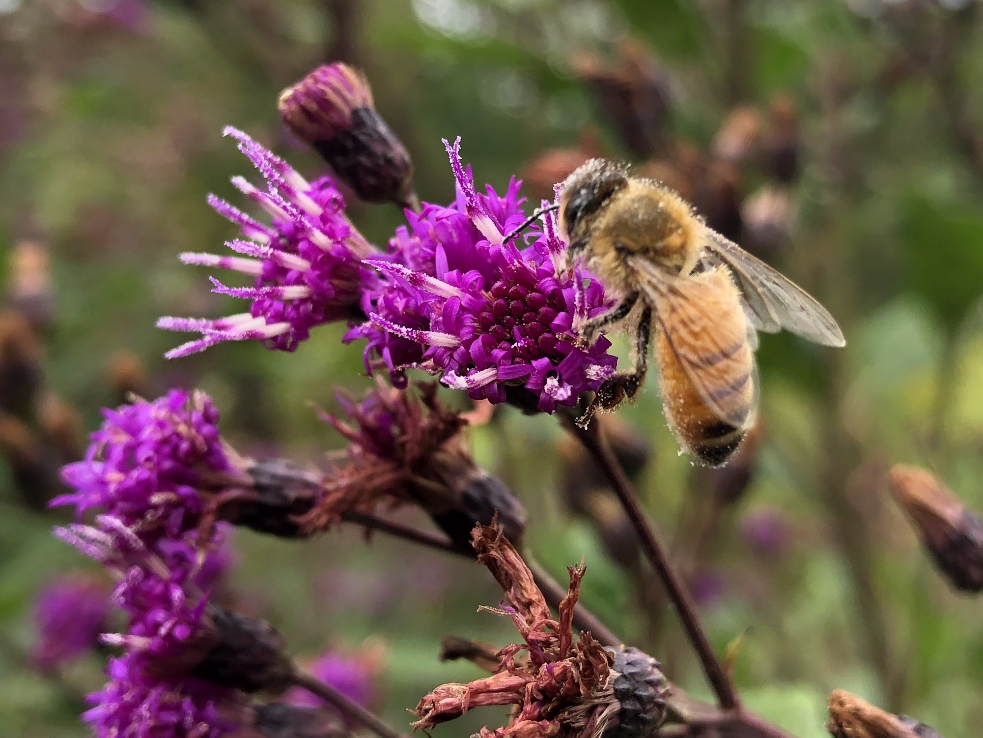 Bee on Ironweed on September 14, 2020.