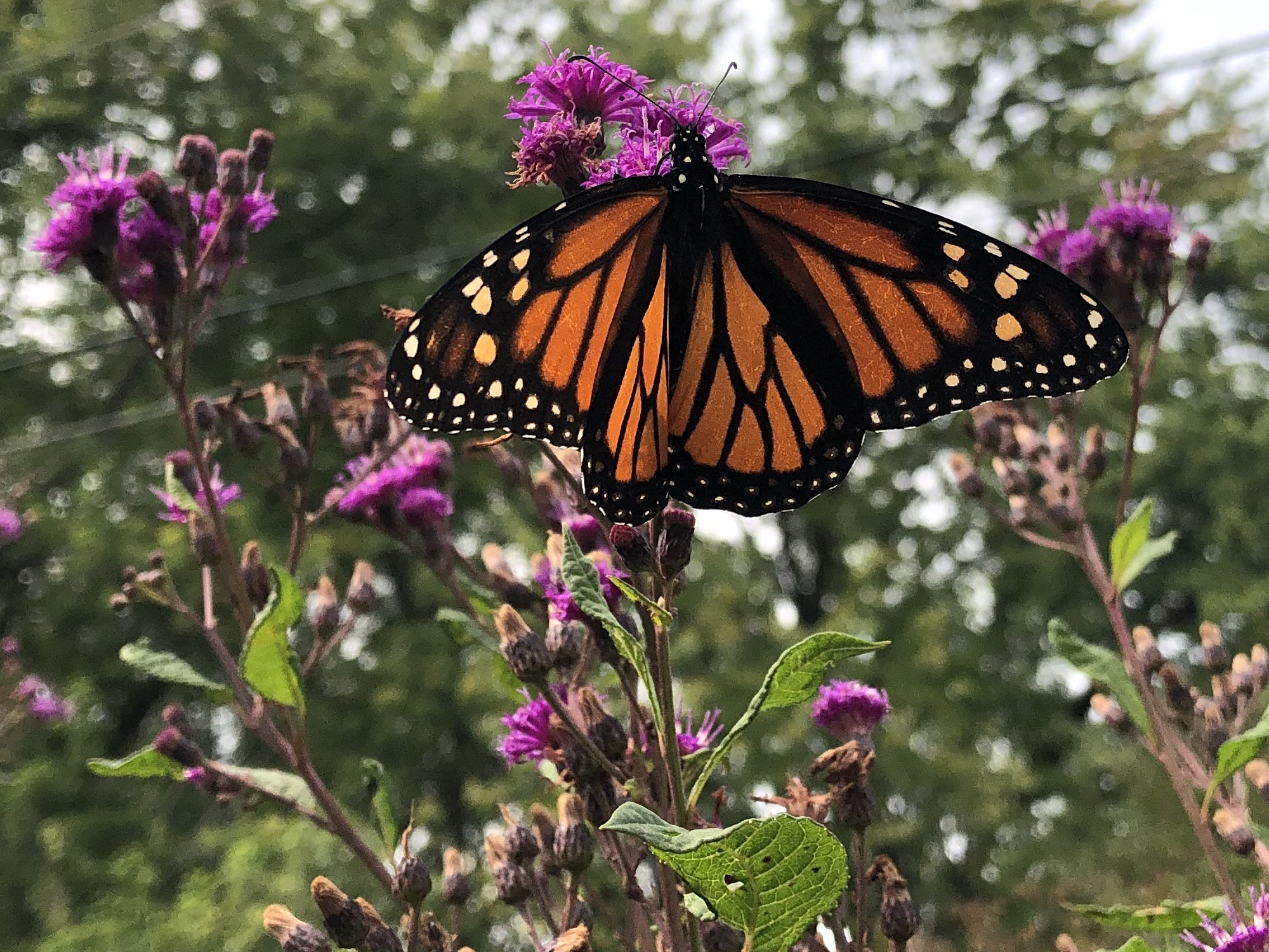 Monarch on 9 feet tall Ironweed on September 14, 2020.