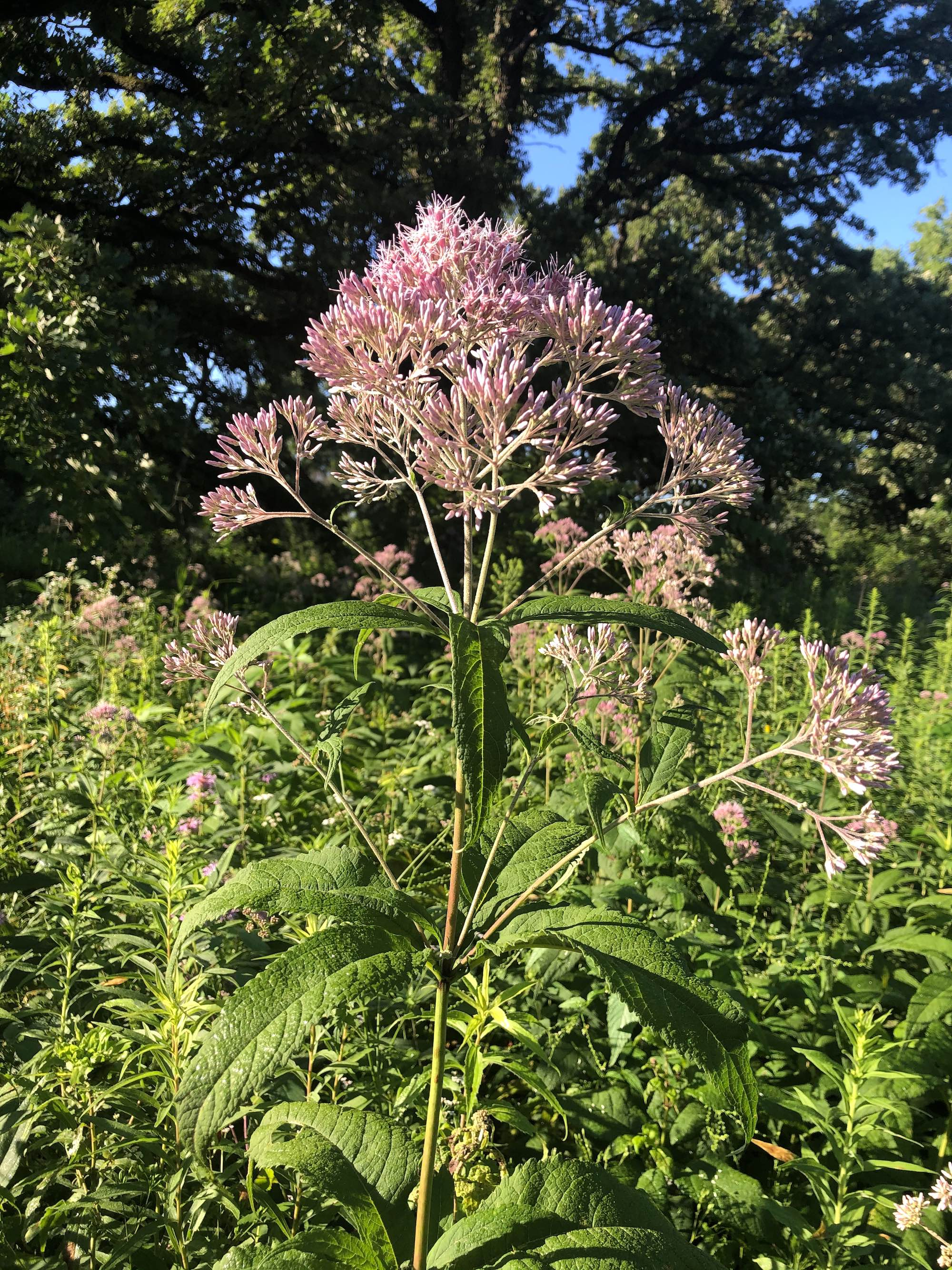 Joe Pye Weed in the Oak Savanna on July 24, 2020.
