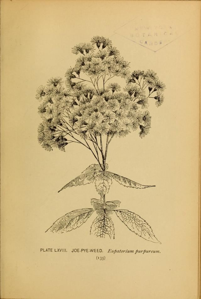 Joe Pye Weed illustration by Alice Lounsberry circa 1899.