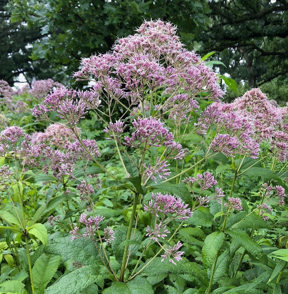 Joe Pye Weed in the Oak Savanna on July 20, 2018.