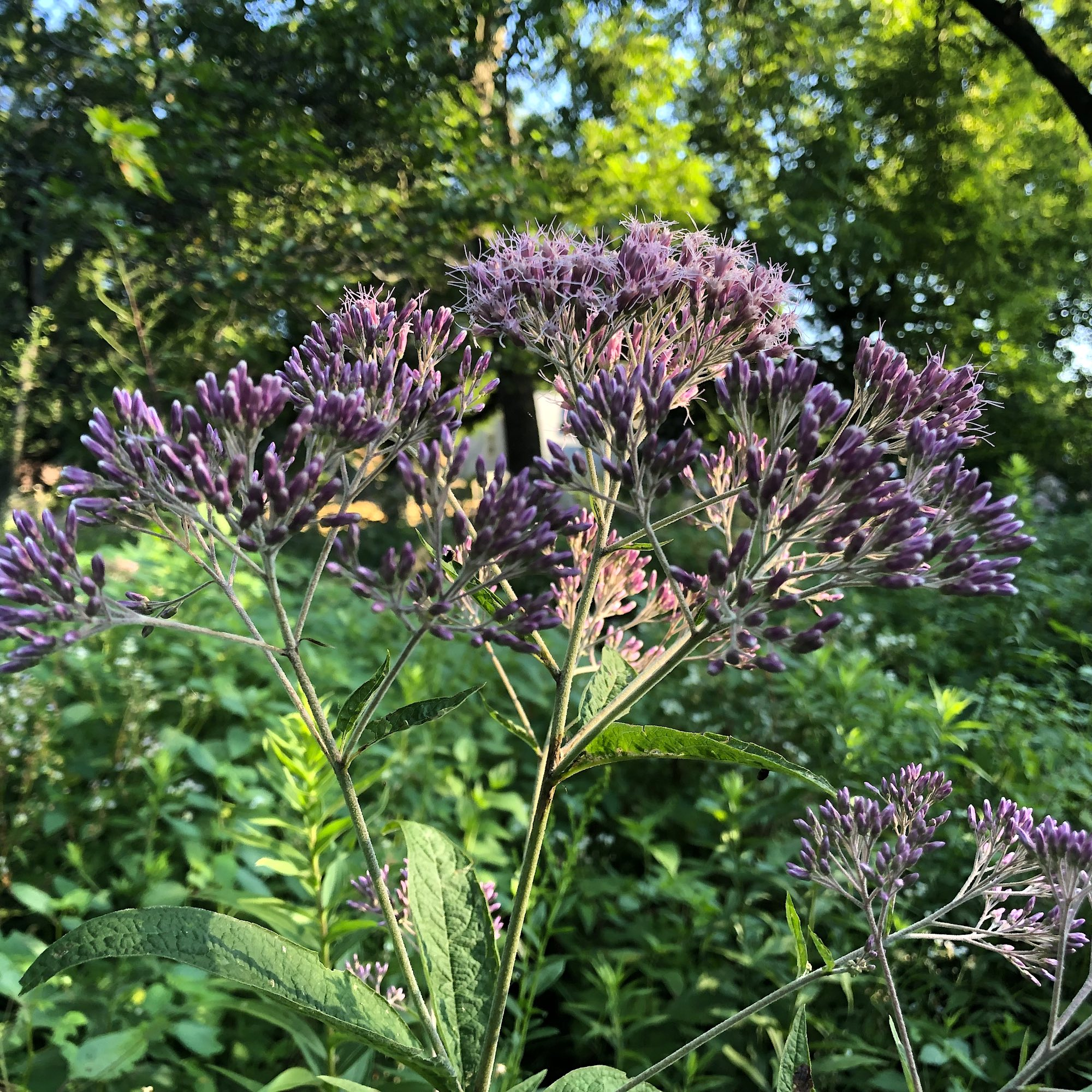 Joe Pye Weed in the Oak Savanna  on July 30, 2019.