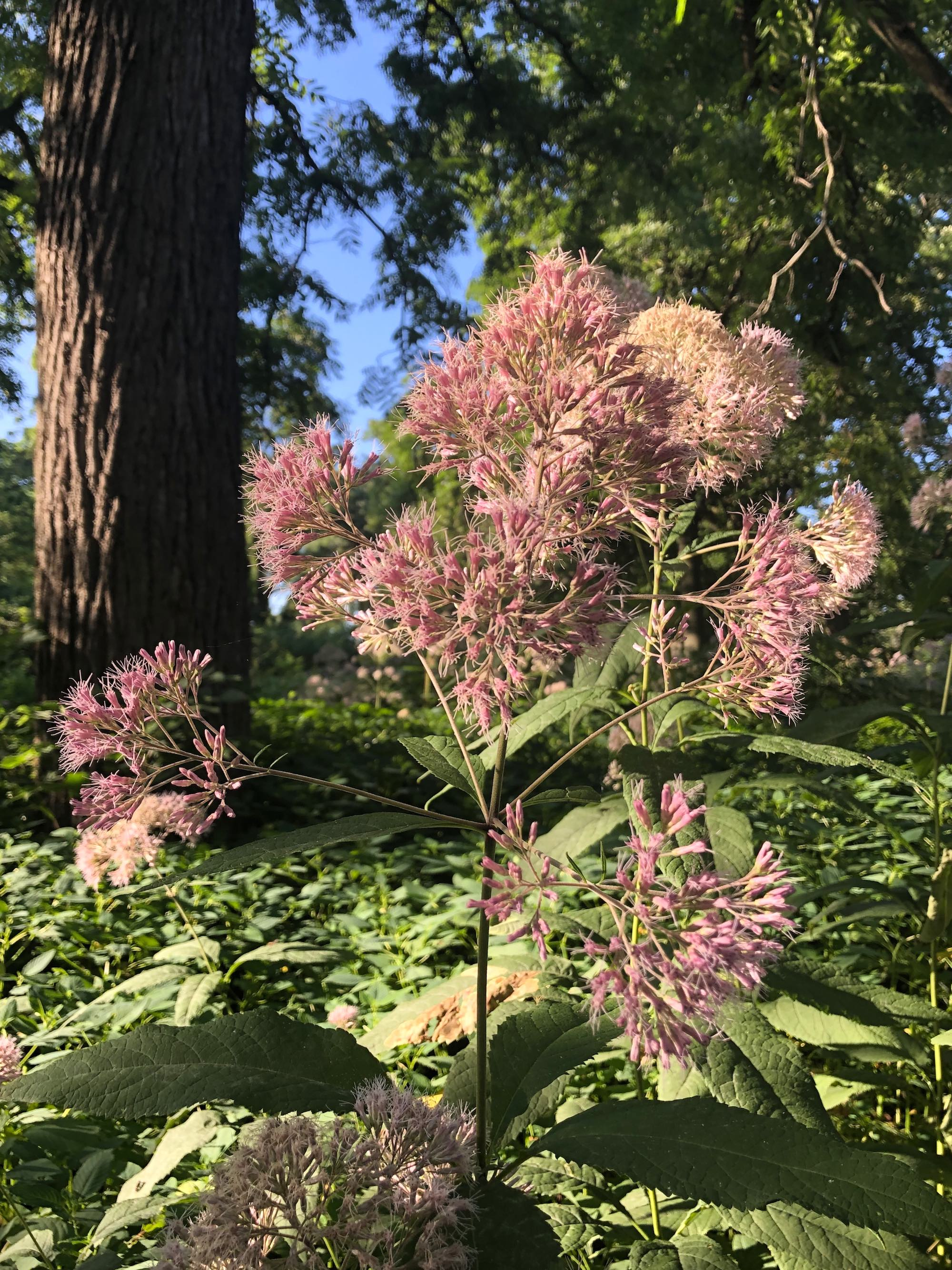 Joe Pye Weed in the Oak Savanna on August 2, 2019.