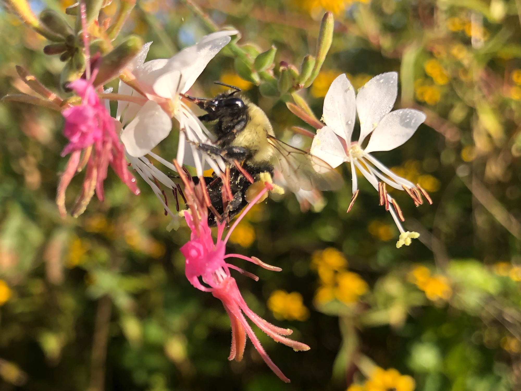 Bumblebee on Large-flowered Gaura on August 21, 2020.