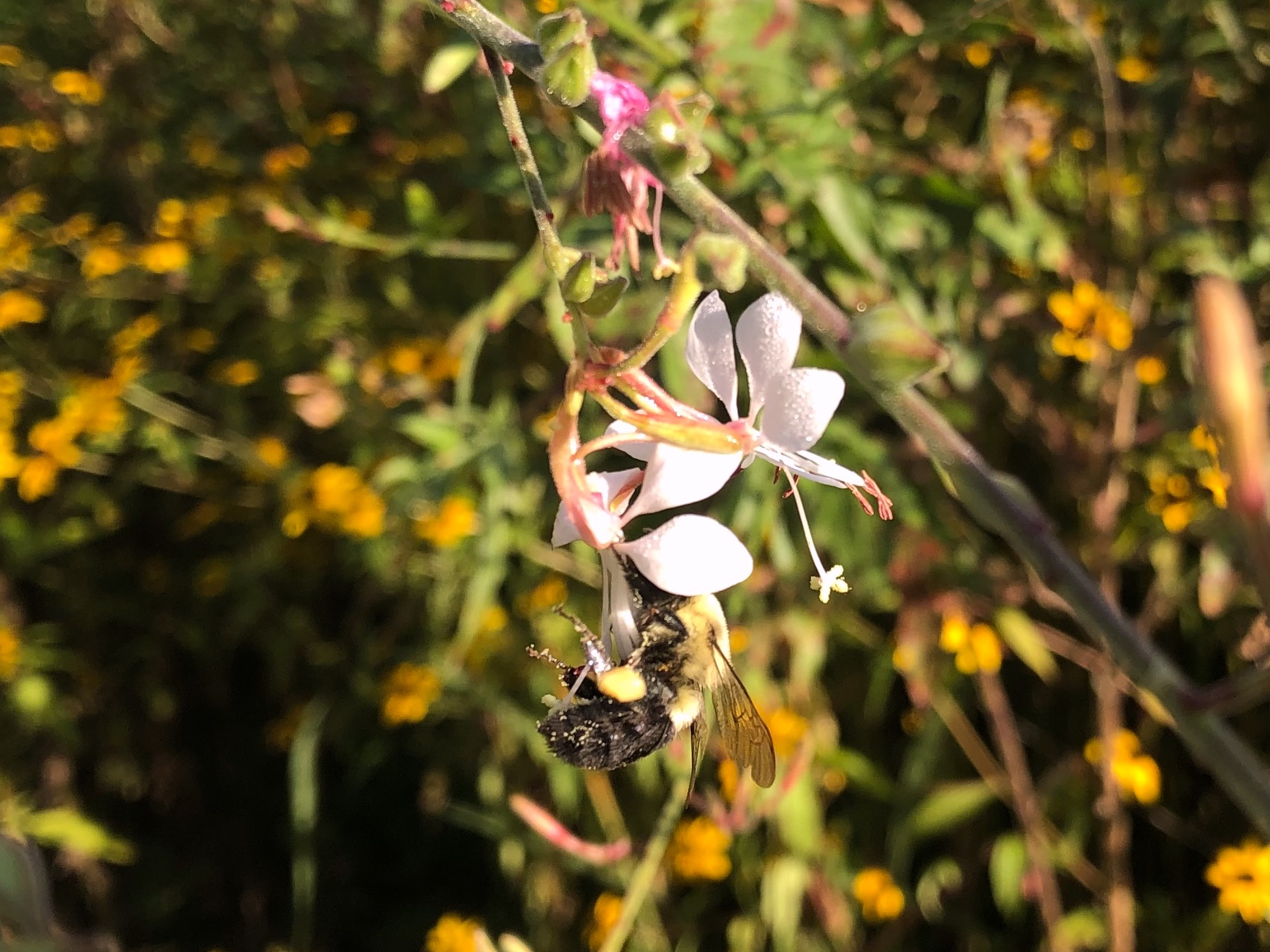 Bumblebee on Biennial Gaura on August 21, 2020.