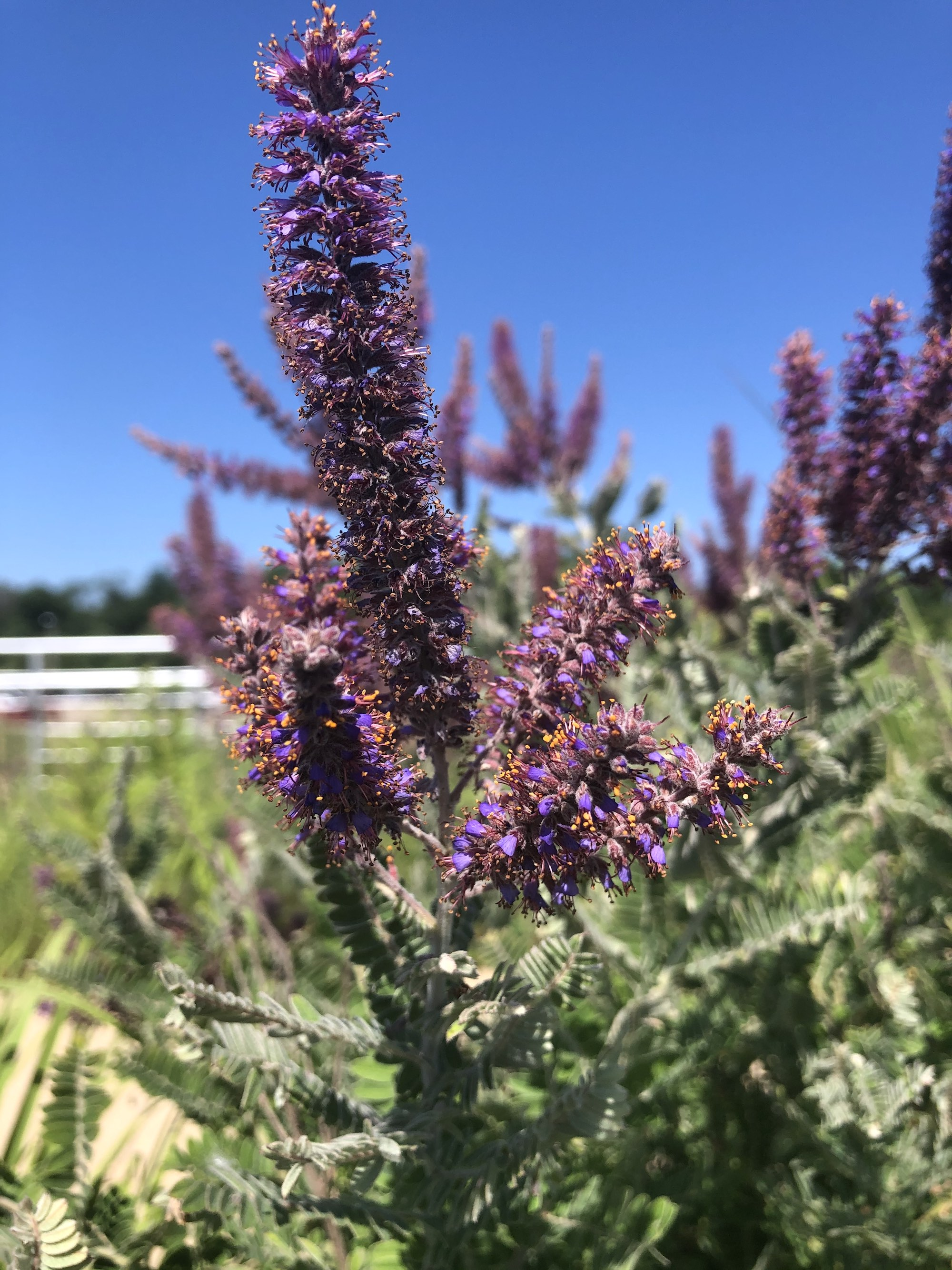 Leadplant next to the UW Arboretum Visitors Center parking lot on July 4, 2020.