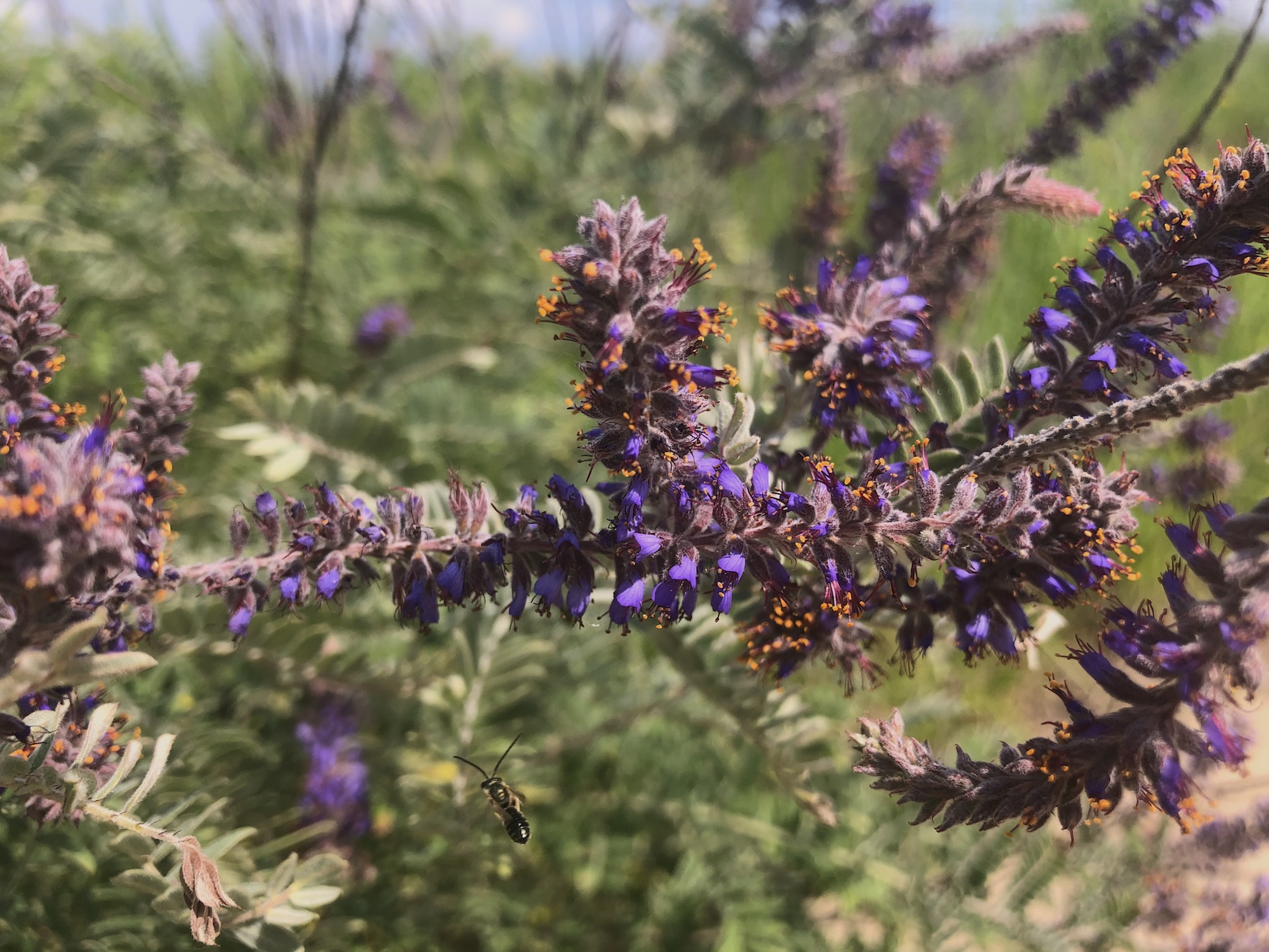 Leadplant next to the UW Arboretum Visitors Center parking lot on July 1, 2020.