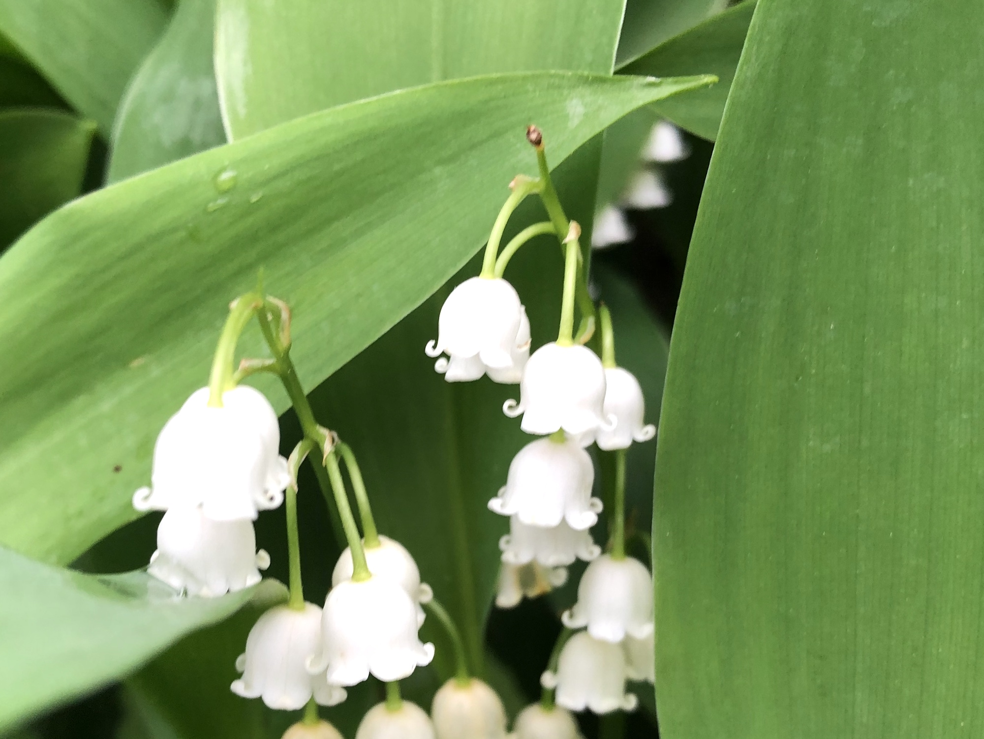 Lily of the Valley on May 30, 2019.