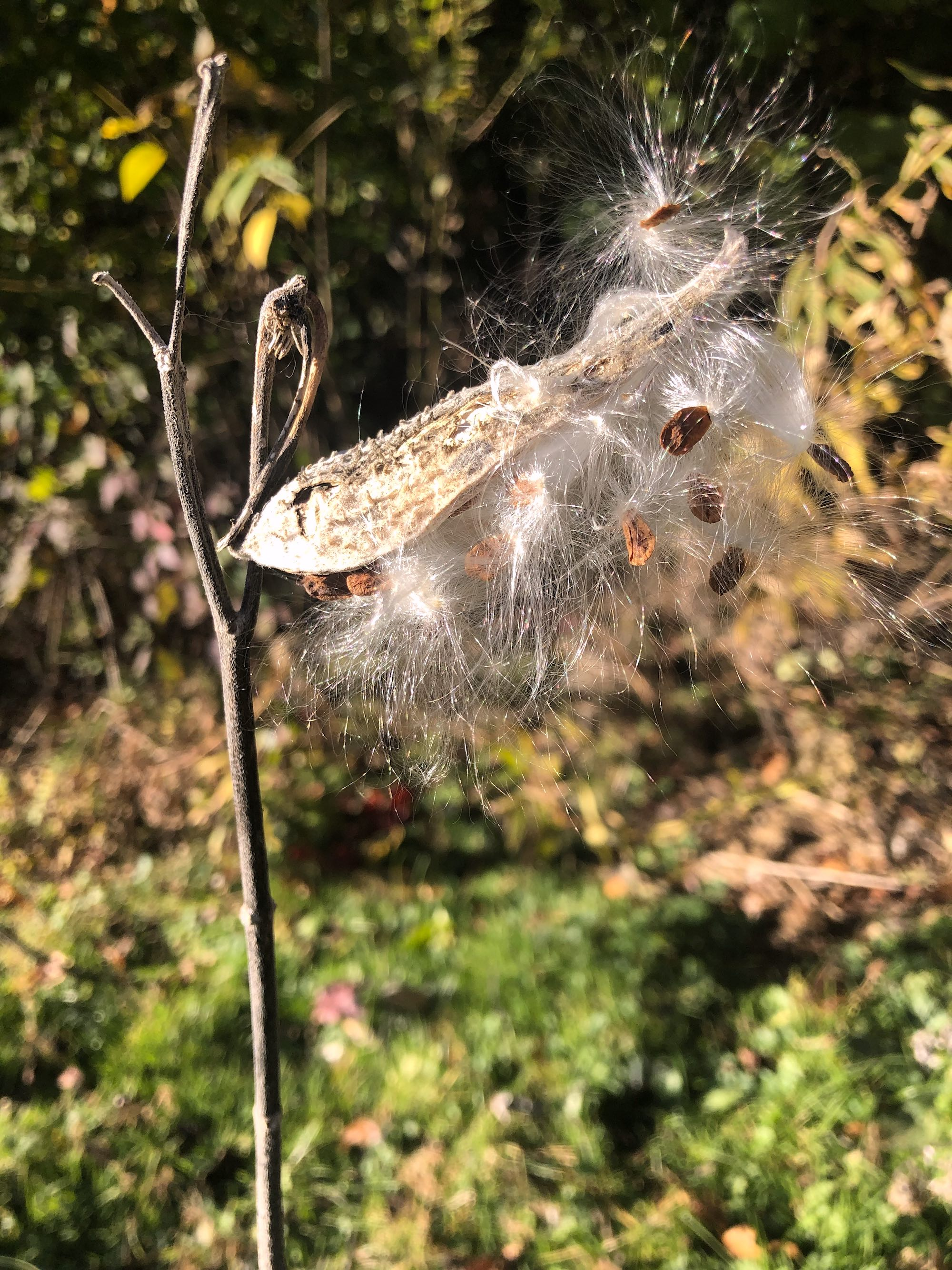 Common Milkweed in UW Arboretum on October 13, 2020.