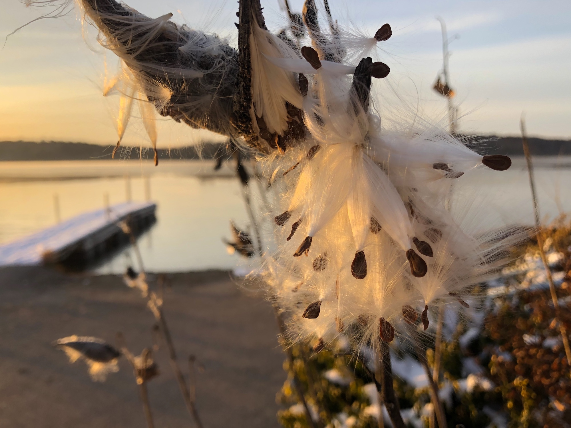 Common Milkweed by Wingra Boats on November 8, 2019.