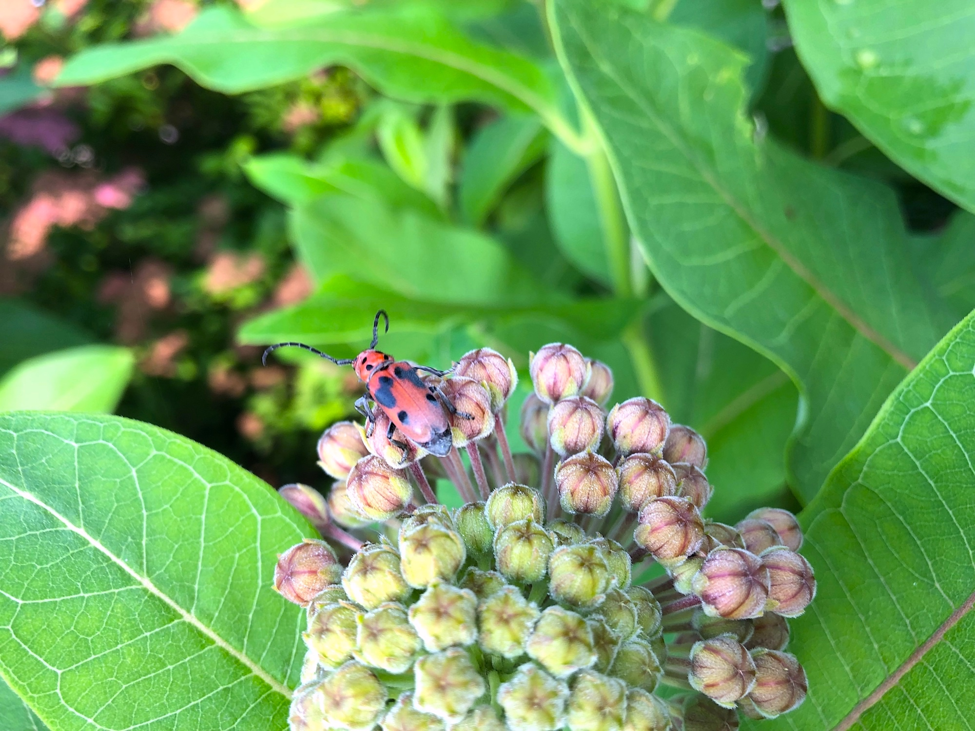 Common Milkweed with Goldenrod Soldier Beetle by Lake Wingra Boat House on June 30, 2019.