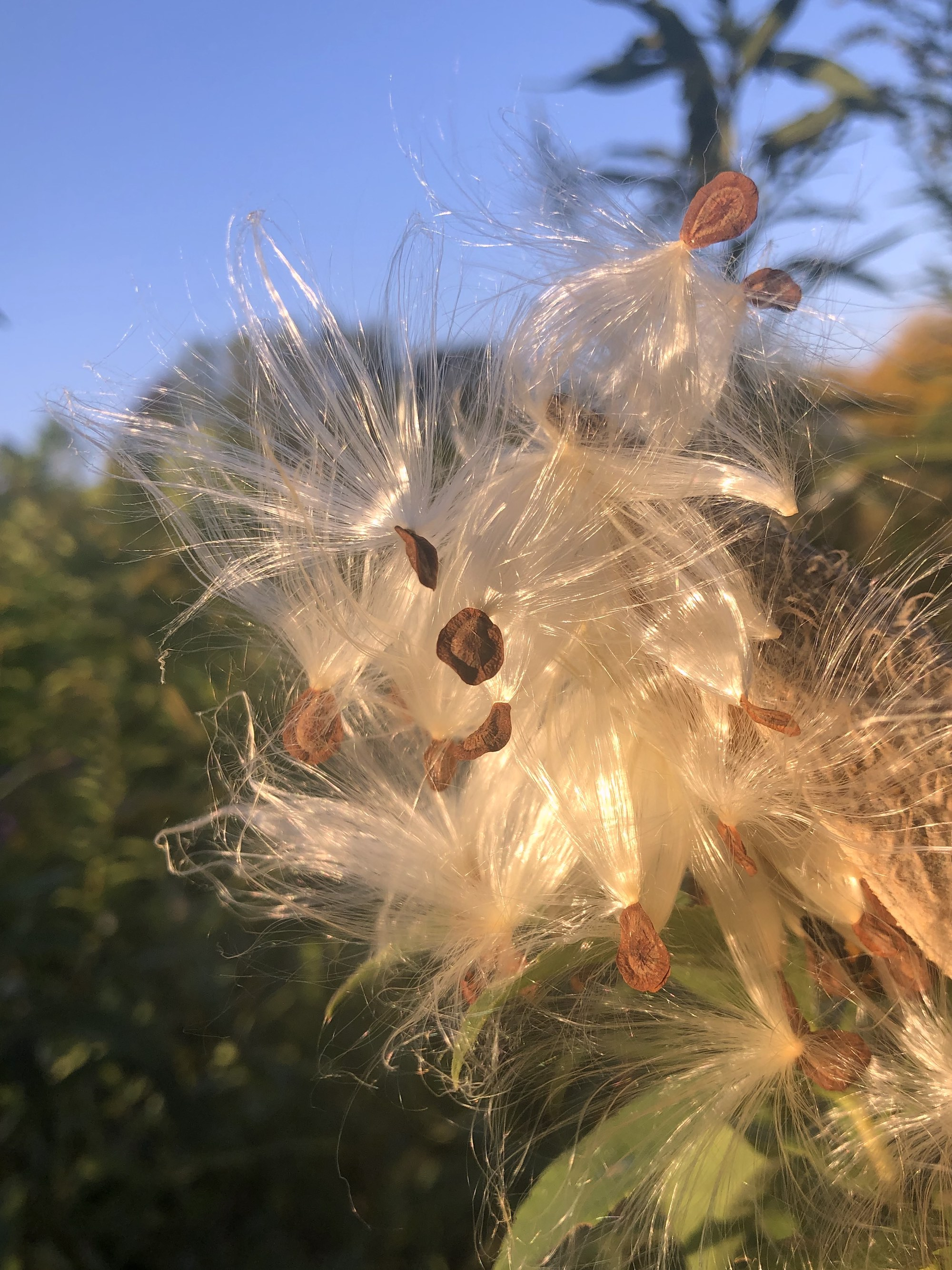 Common Milkweed on shore of Marion Dunn Pond on September 25, 2020.