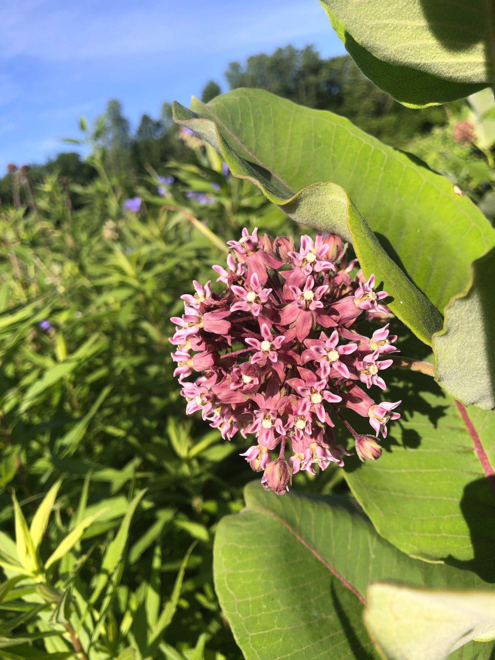 Common Milkweed on shore of Marion Dunn Pond on June 23, 2020.