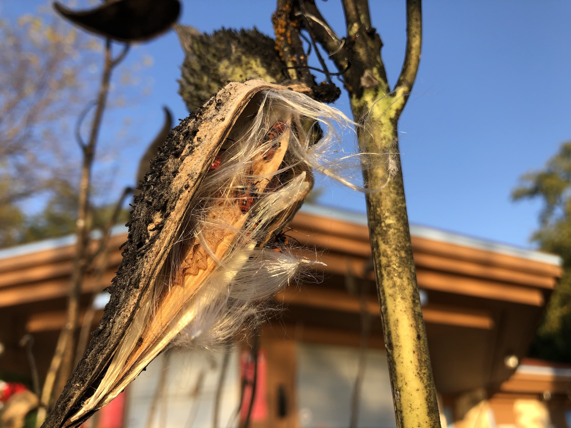 Common Milkweed by Wingra Boats on October 12, 2019.