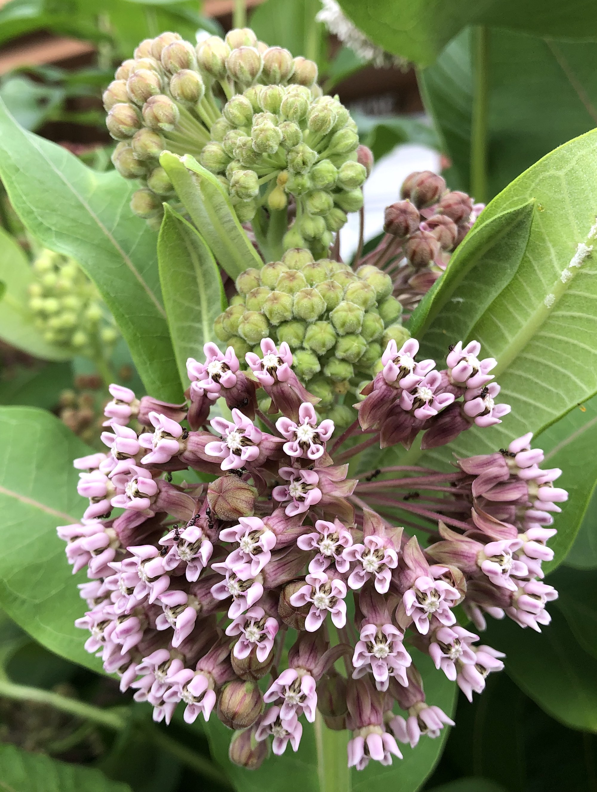 Common Milkweed by the Wingra Boathouse on July 1, 2019.