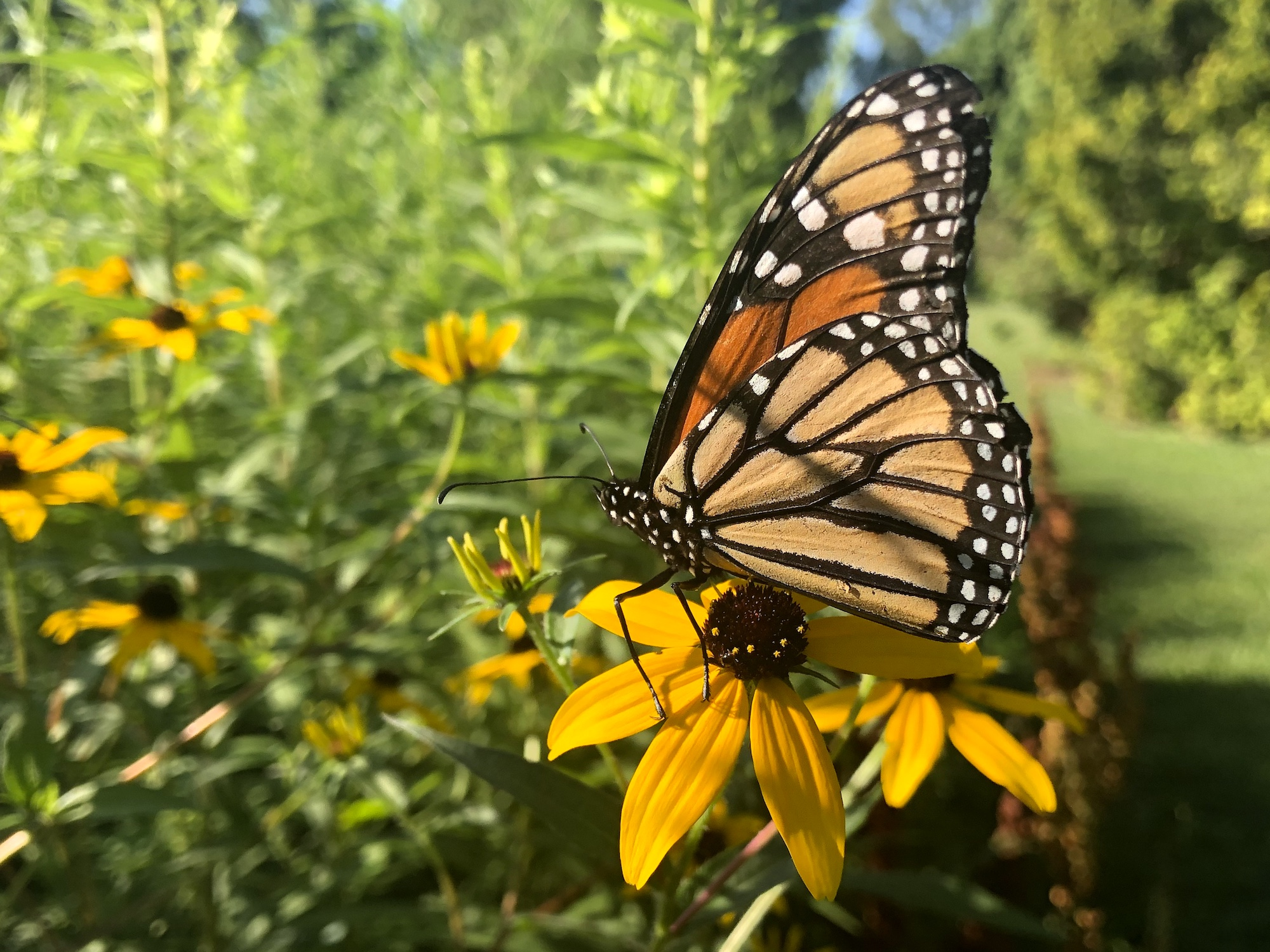 Monarch on Brown-eyed Susan on July 28, 2019.
