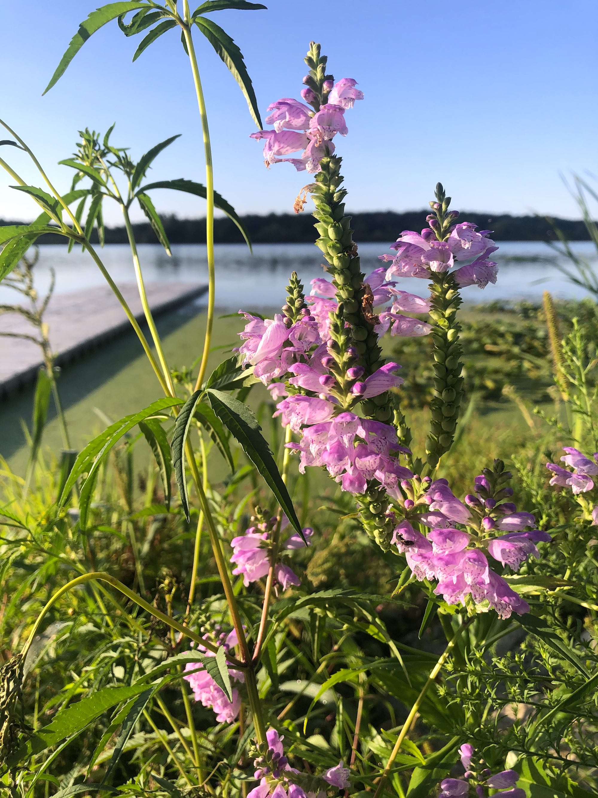 Obedient Plant on shore of Lake Wingra in Wingra Park in Madison, Wisconsin on August 21, 2020.