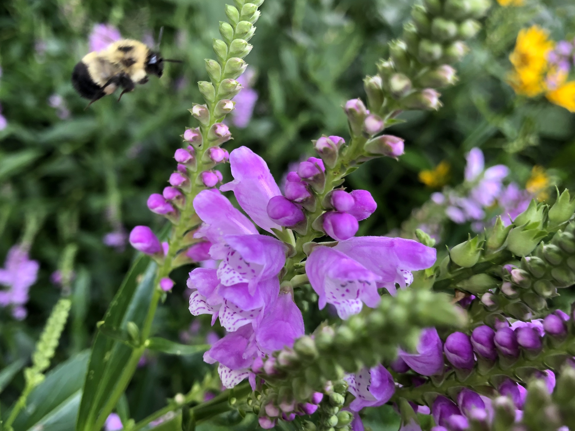 Obedient Plant in Thoreau Rain Garden in Madison, Wisconsin on August 2, 2020.