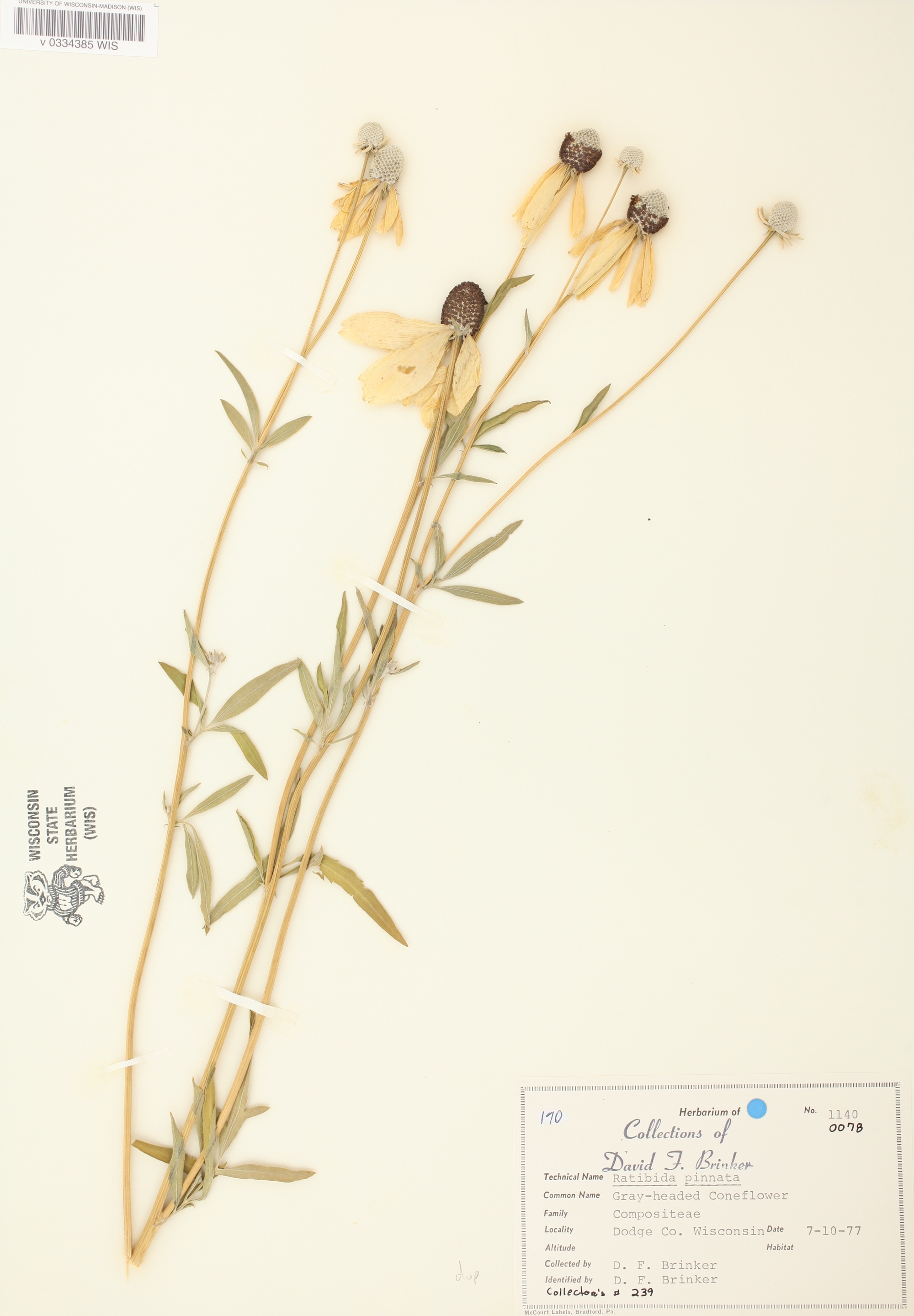 Gray-headed coneflower specimen collected in Dodge County, Wisconsin on July 10, 1977.