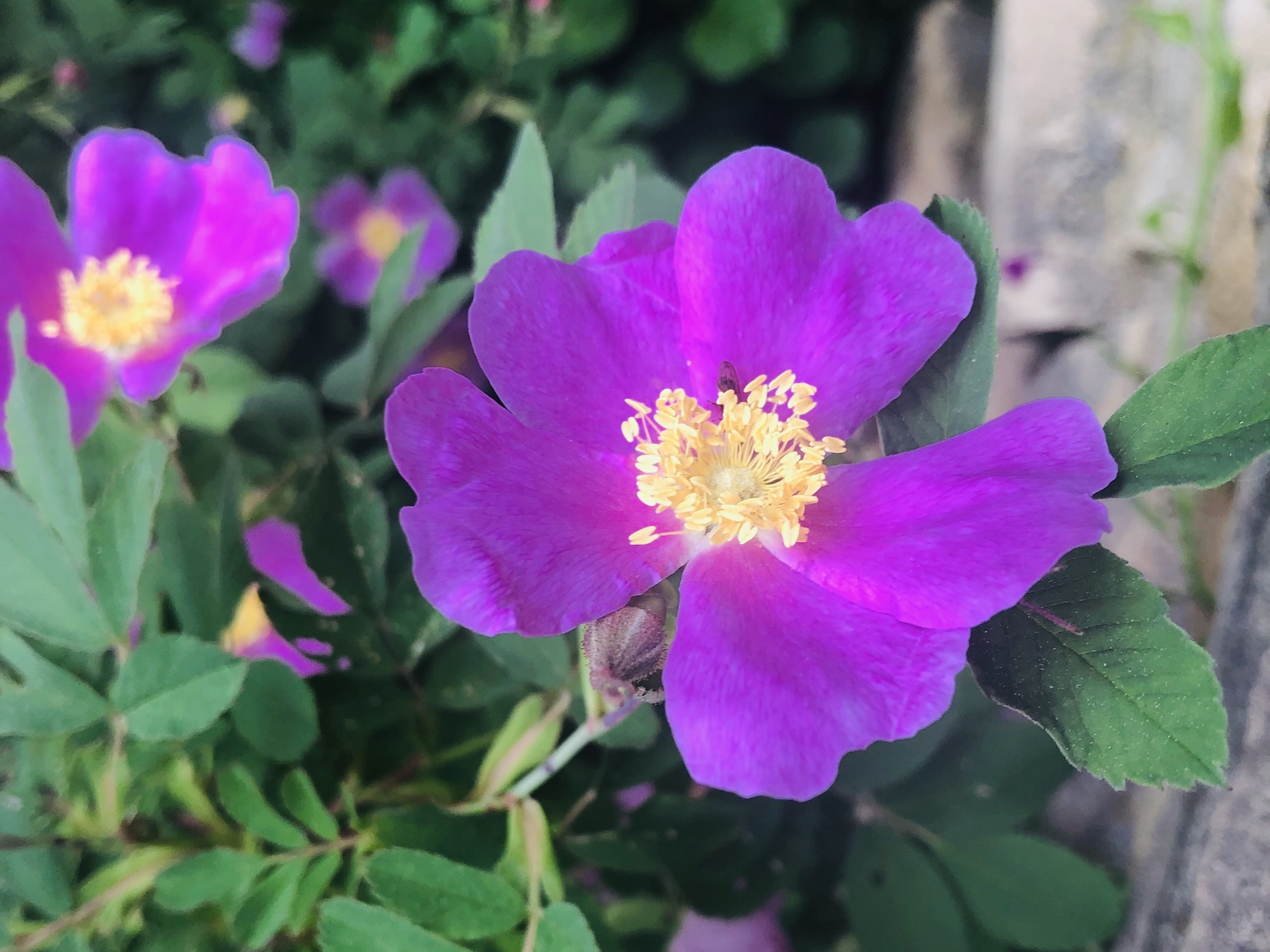 Prarie Rose by Duck Pond stone wall in Madison, Wisconsin on June 5, 2020.