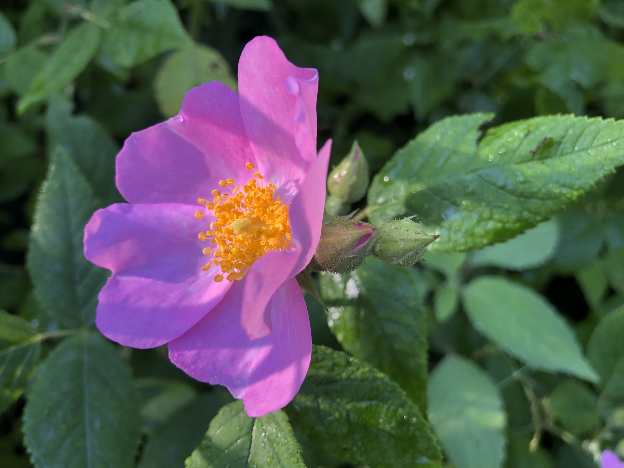 Prairie Rose near Council Ring in the Oak Savanna on July 10, 2019.