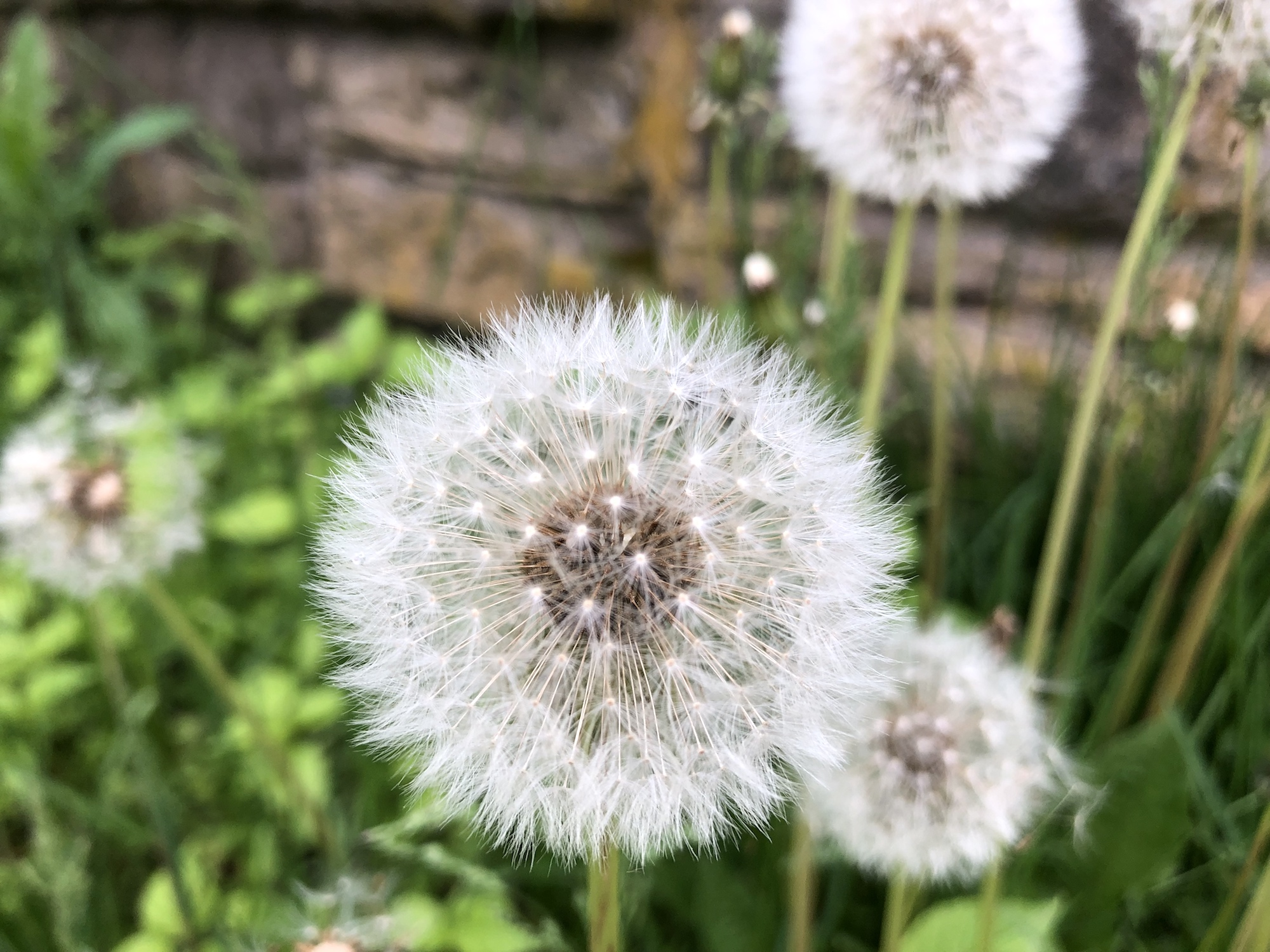 Dandelion puffballs near Duck Pond wall on May 30, 2019.