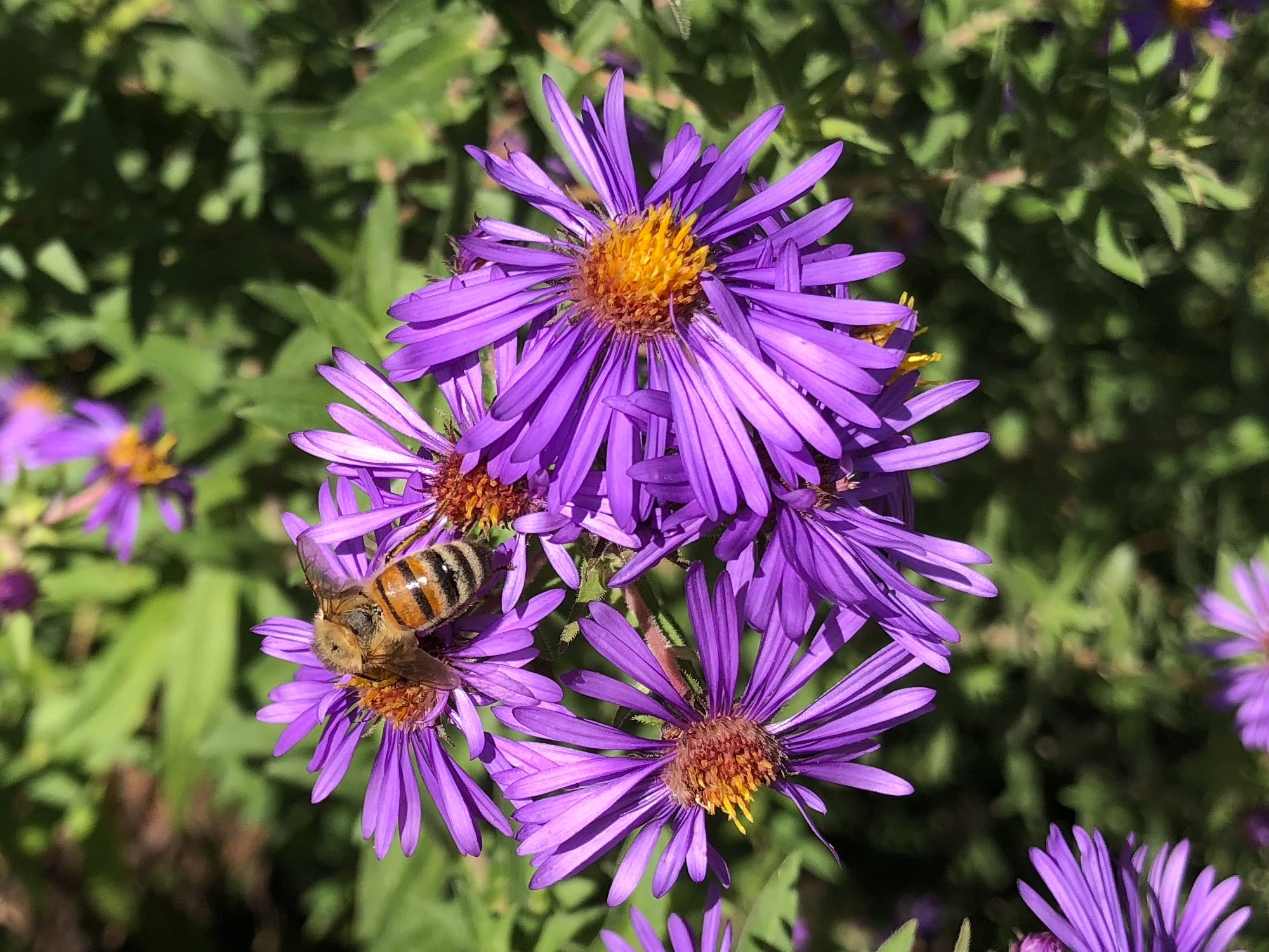 Bee on Purple Aster on September 23, 2018