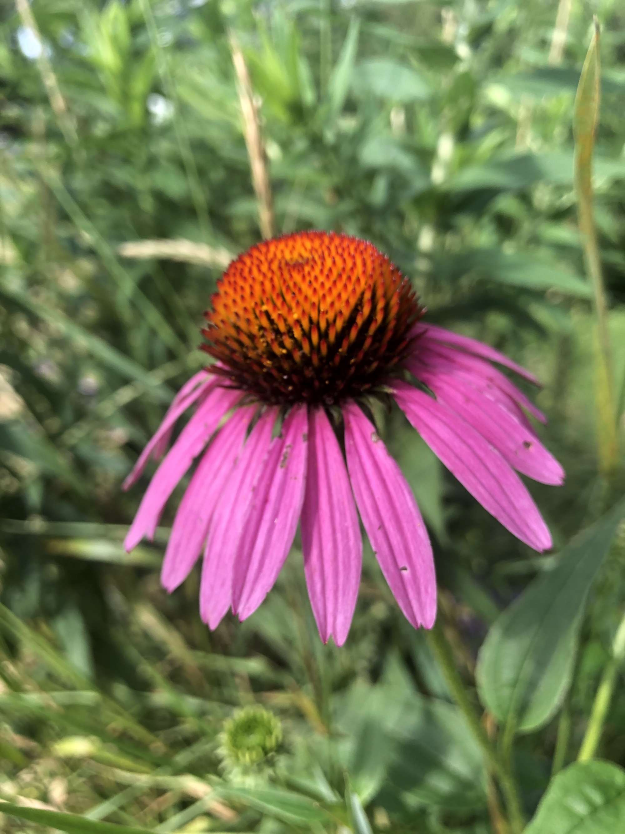 Purple coneflower in the woods in Nakoma Park in Madison, Wisconsin on July 21, 2020.