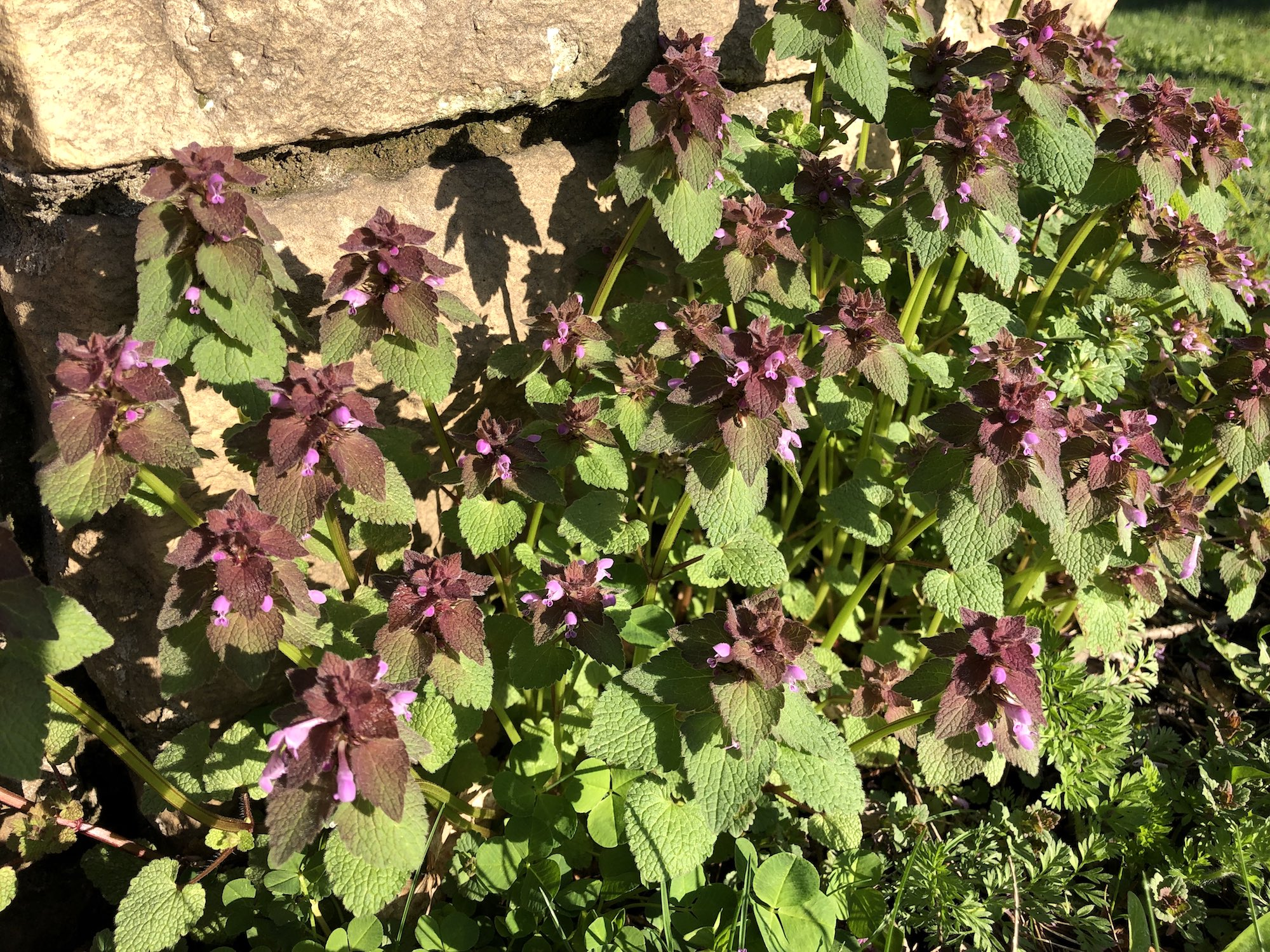 Purple Dead-Nettles on May 3, 2019.