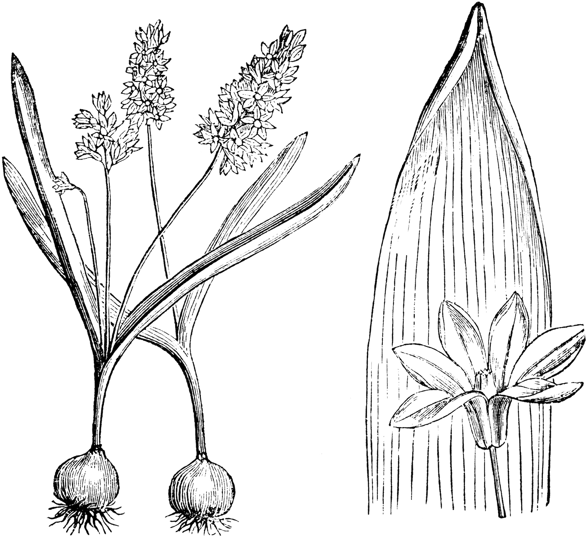 Striped Squill drawing.