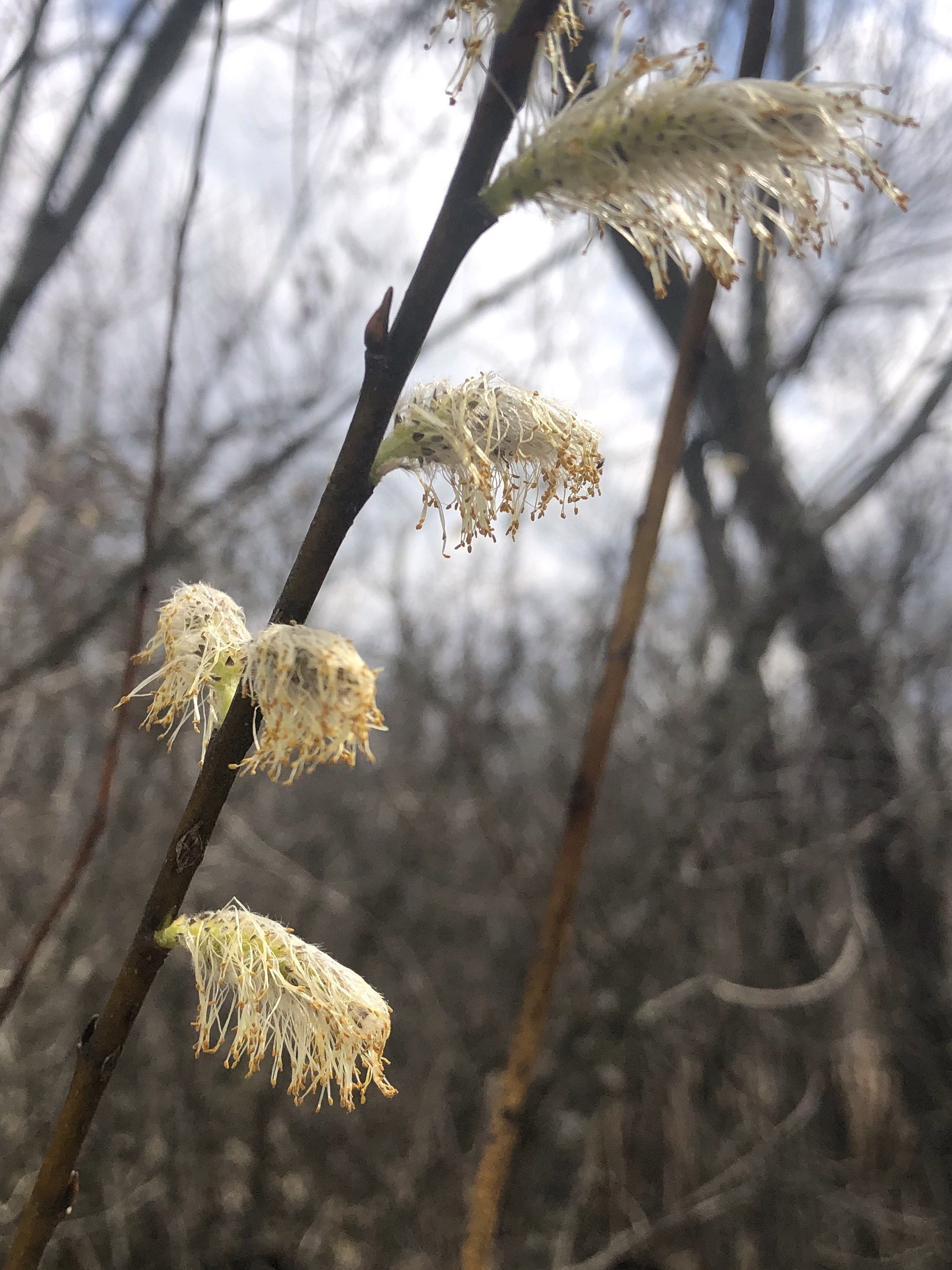 Pussy Willow along shore of Lake wingra on April 8, 2021.