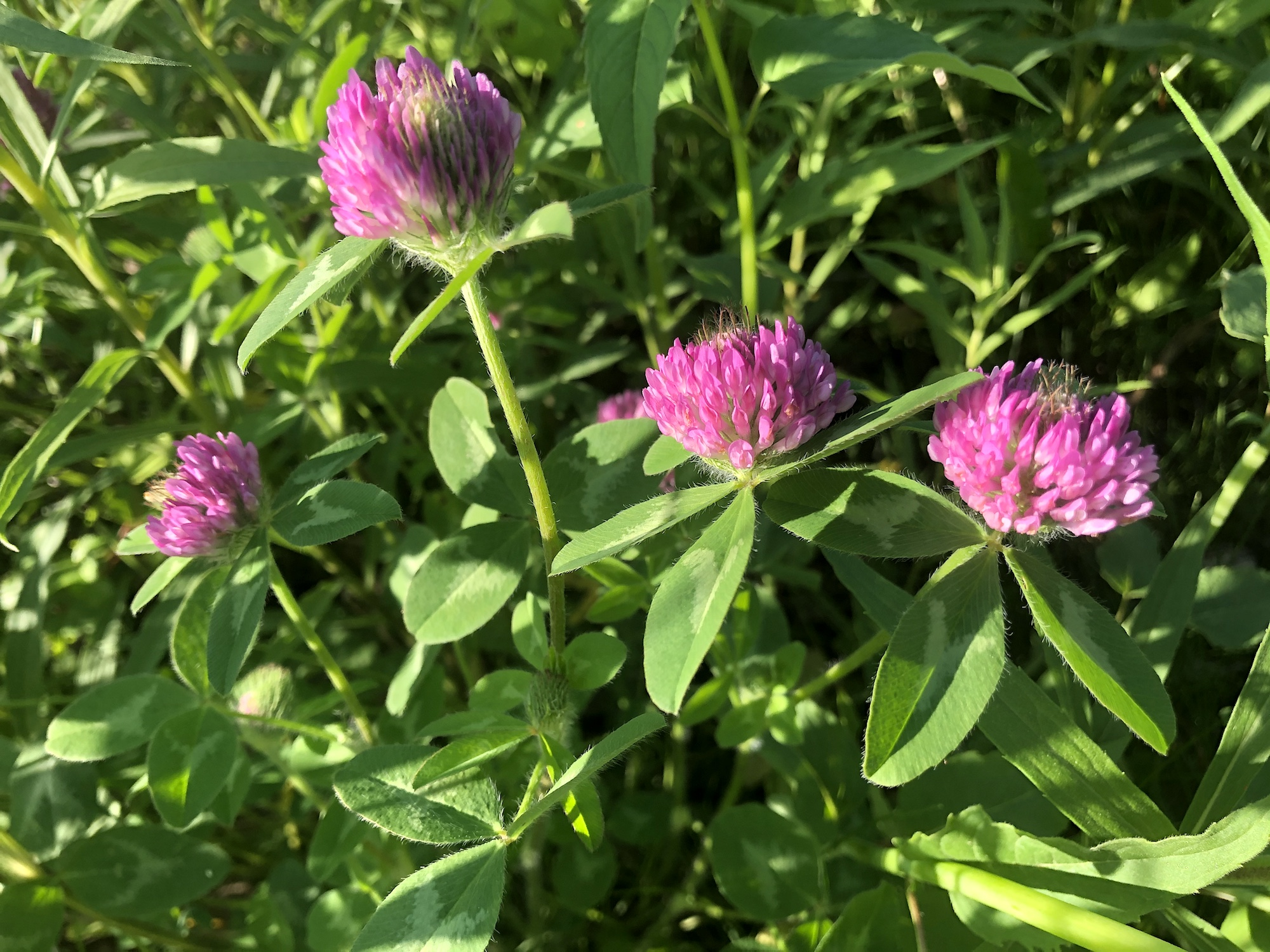 Red Clover on the bank of the retaining pond on June 2, 2020.