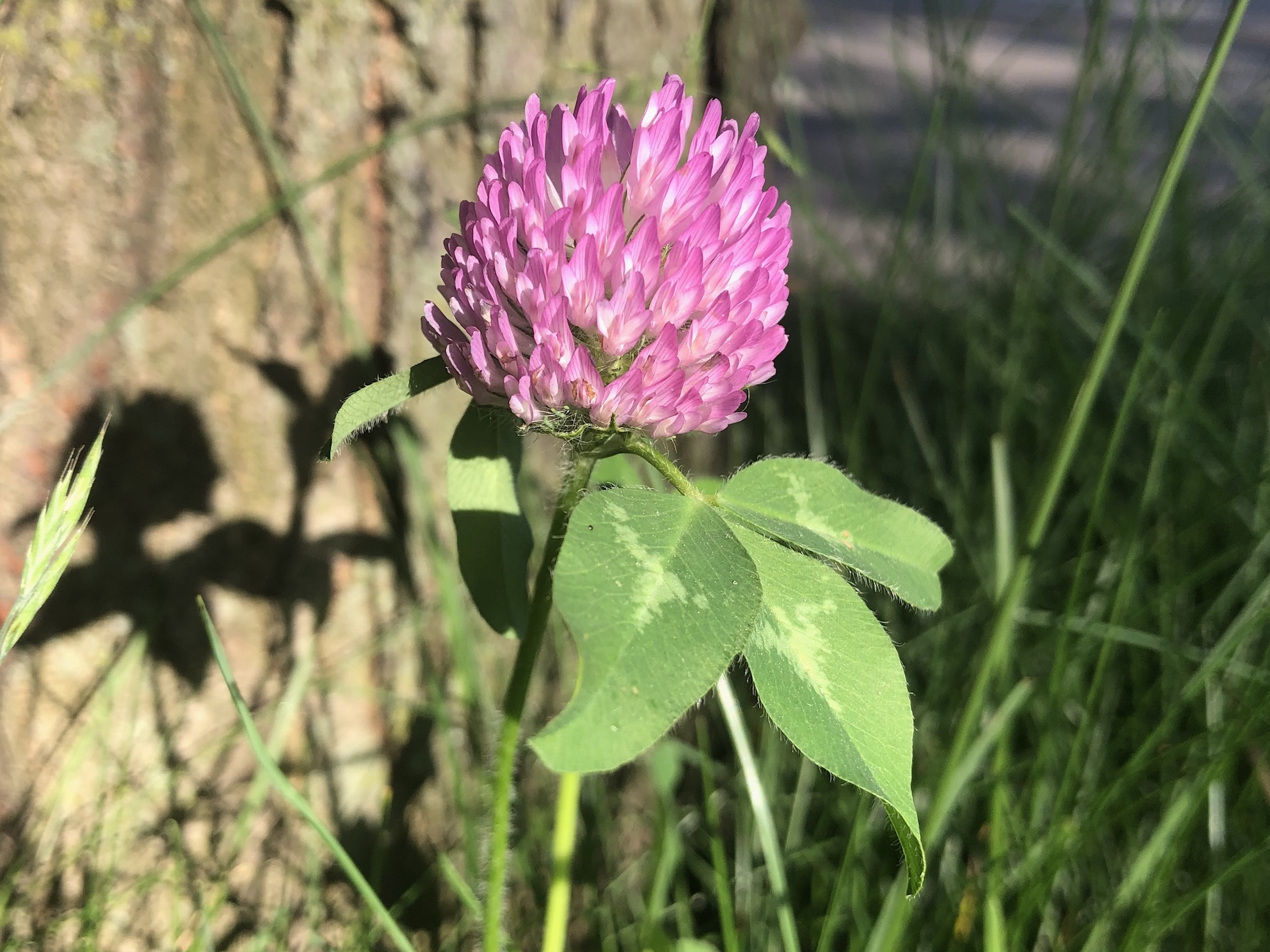 Red Clover by sidewalk near Marion Dunn on Monroe Street on June 2, 2020.