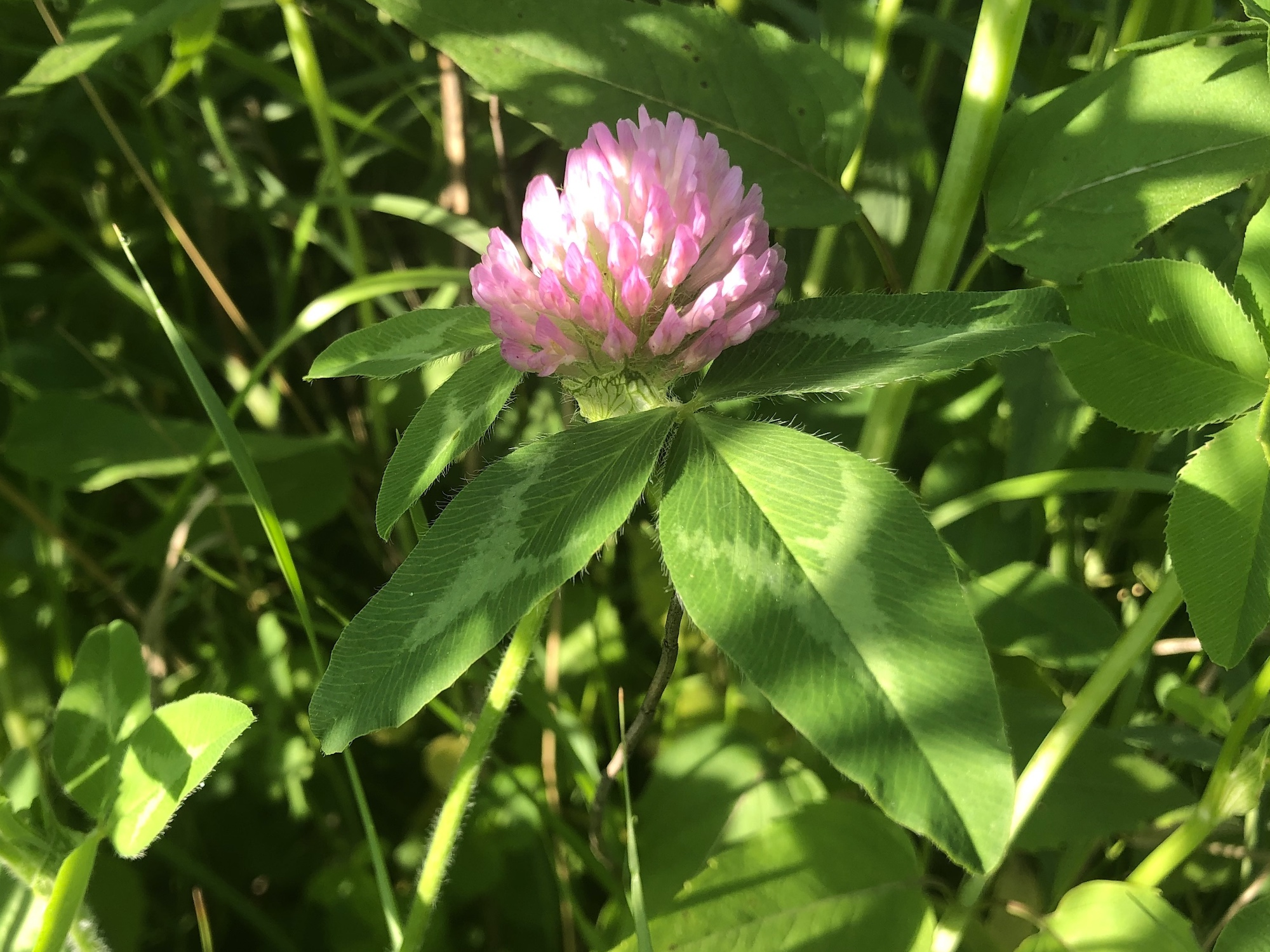 Red Clover on the bank of the retaining pond on June 4, 2020.
