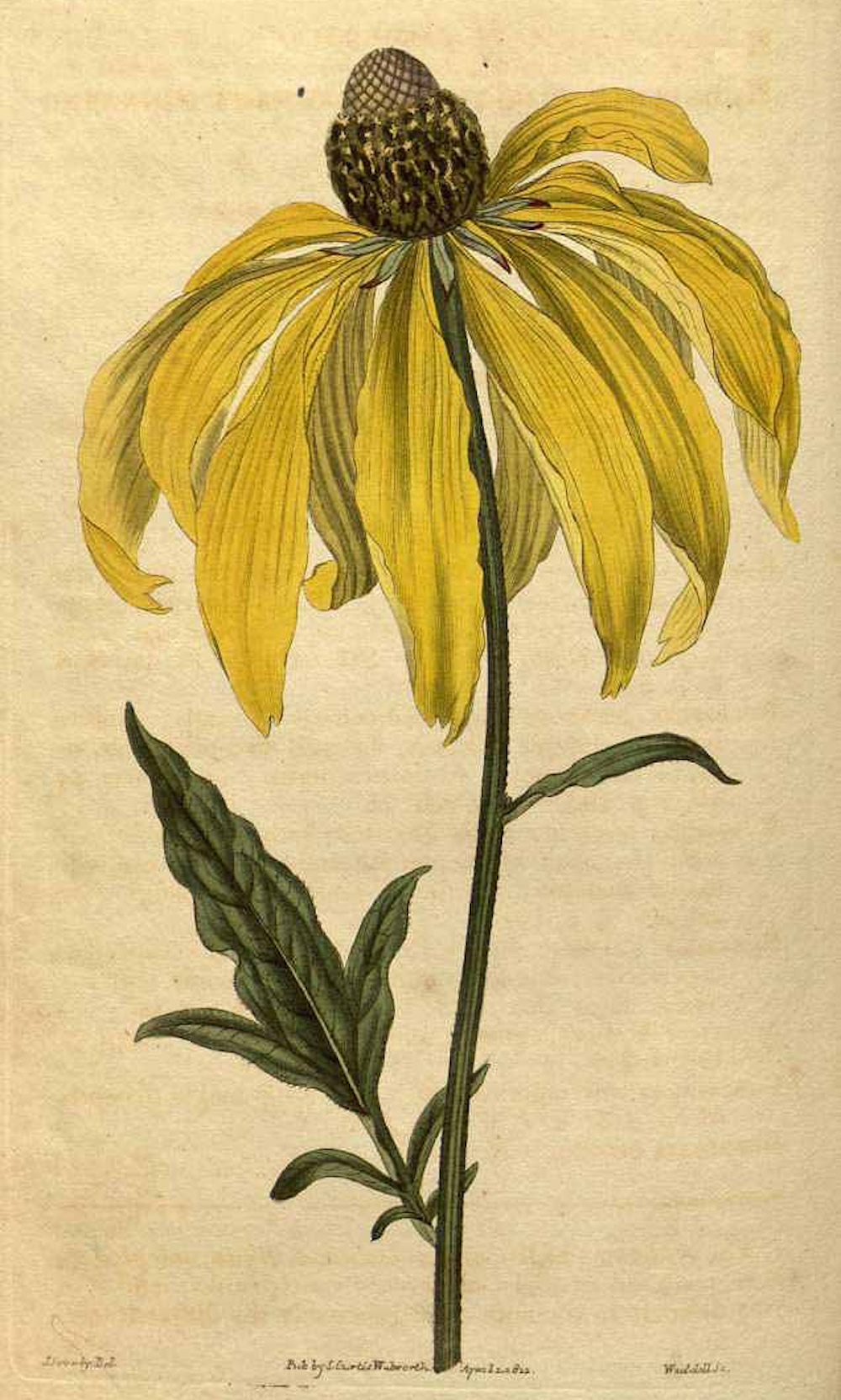 Gray-headed coneflower (Rudbeckia pinnata) illustration by James Sowerby circa 1822.
