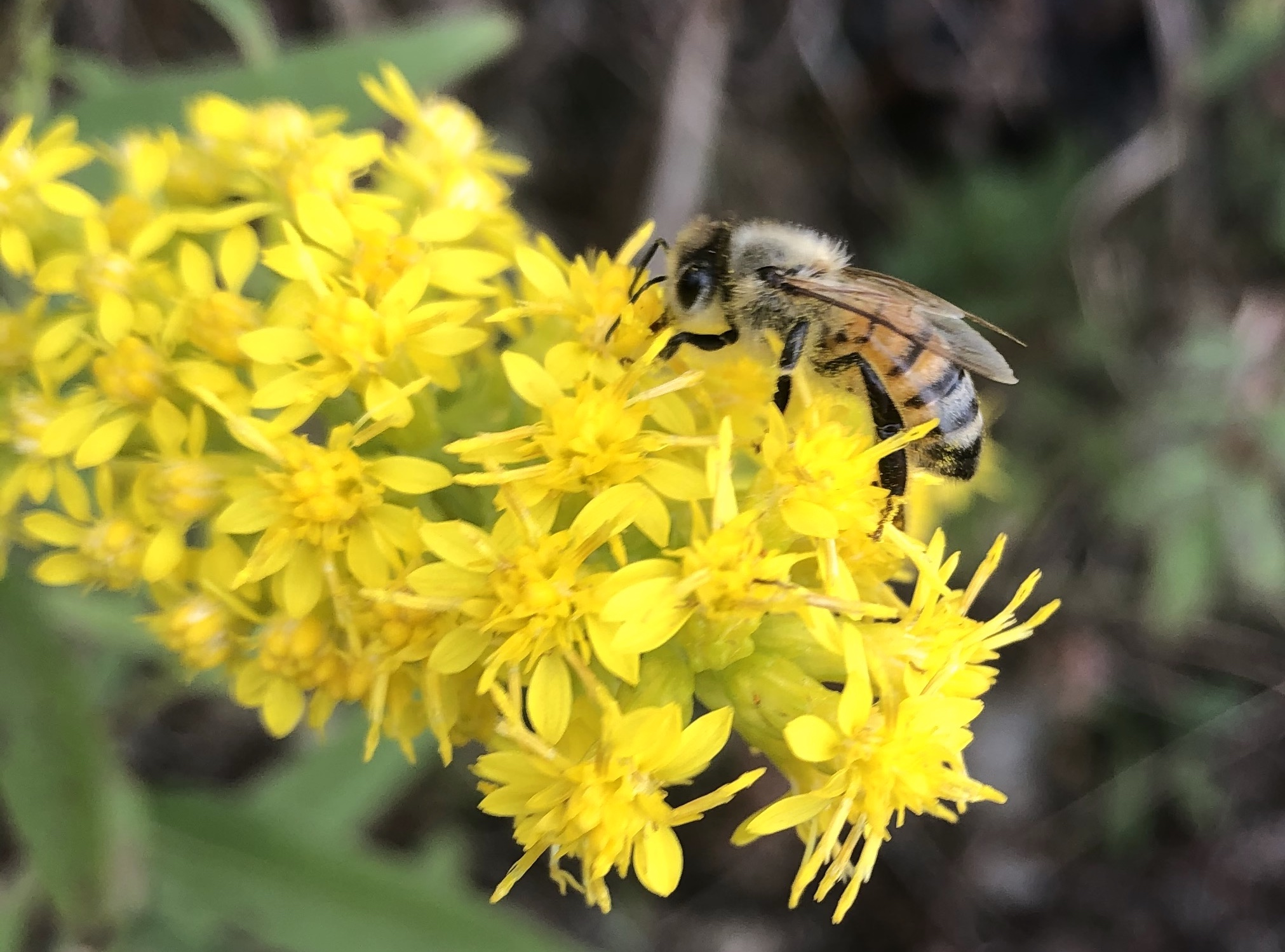 Bee on Showy Goldenrod on September 30, 2020 September 30, 2020.