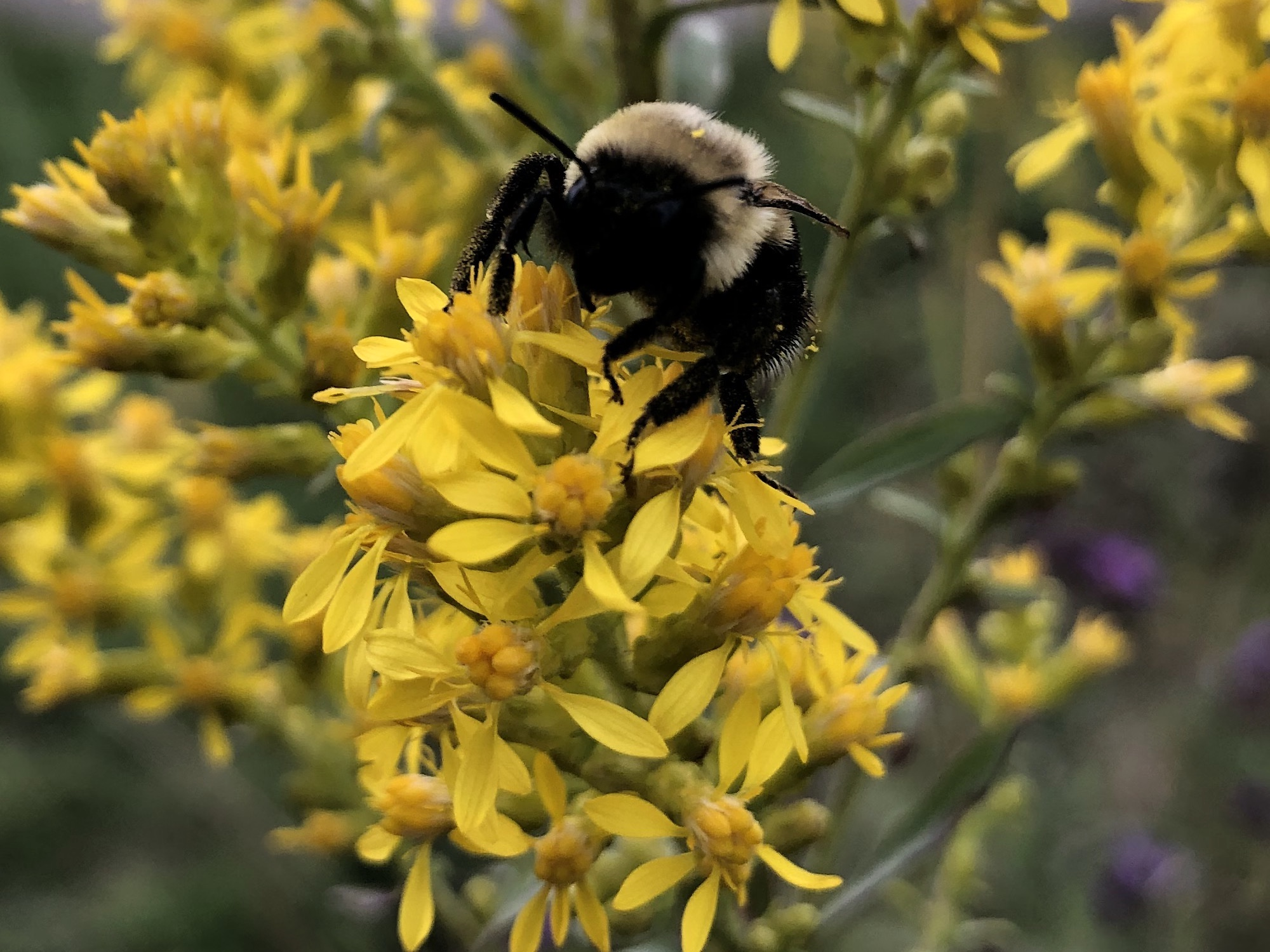Bumblebee on Showy Goldenrod on September 30, 2020 October 2, 2020.