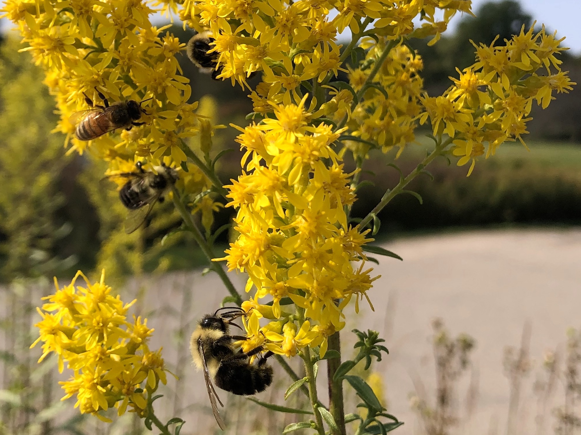 Bees on Showy Goldenrod on September 22, 2020.