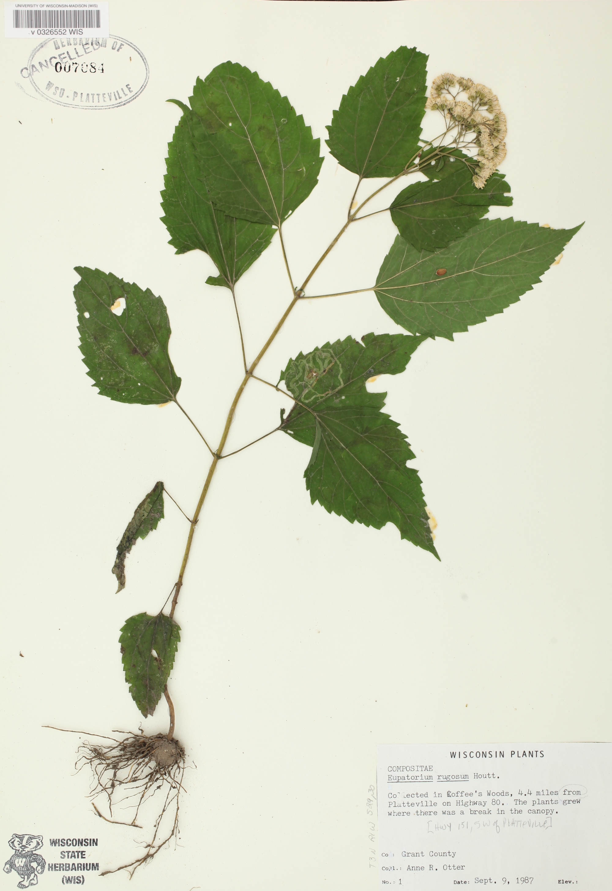 White Snakeroot specimen collected in Grant County near Platteville on September 9, 1987.