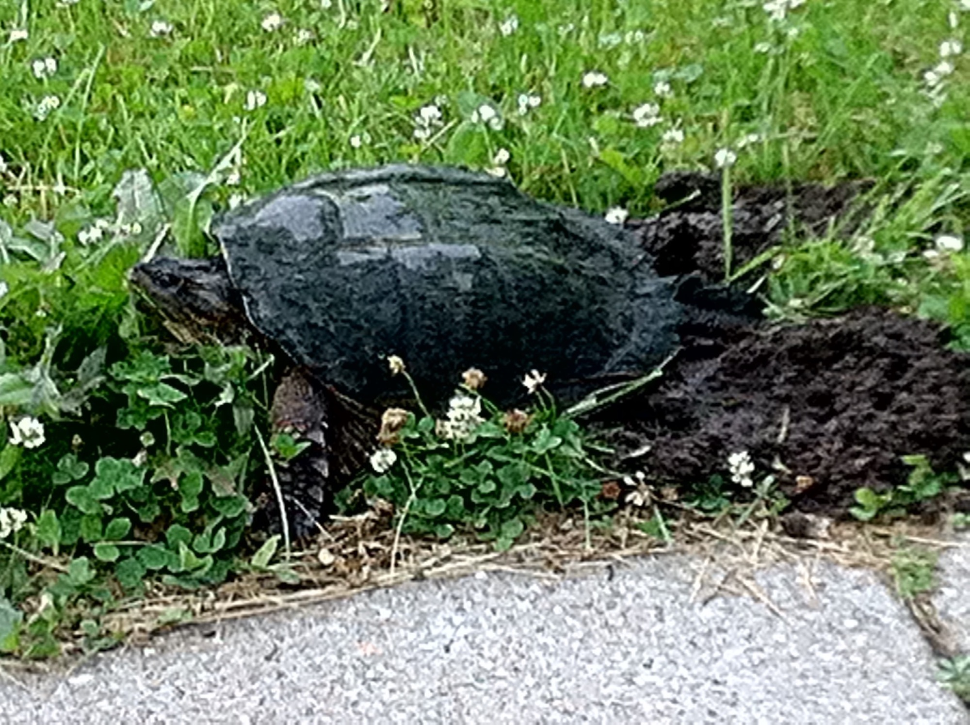 Snapping Turtle laying eggs on Arbor Drive across from  Ho-Nee-Um Pond on Lake Wingra in Madison, Wisconsin on June 14, 2016.