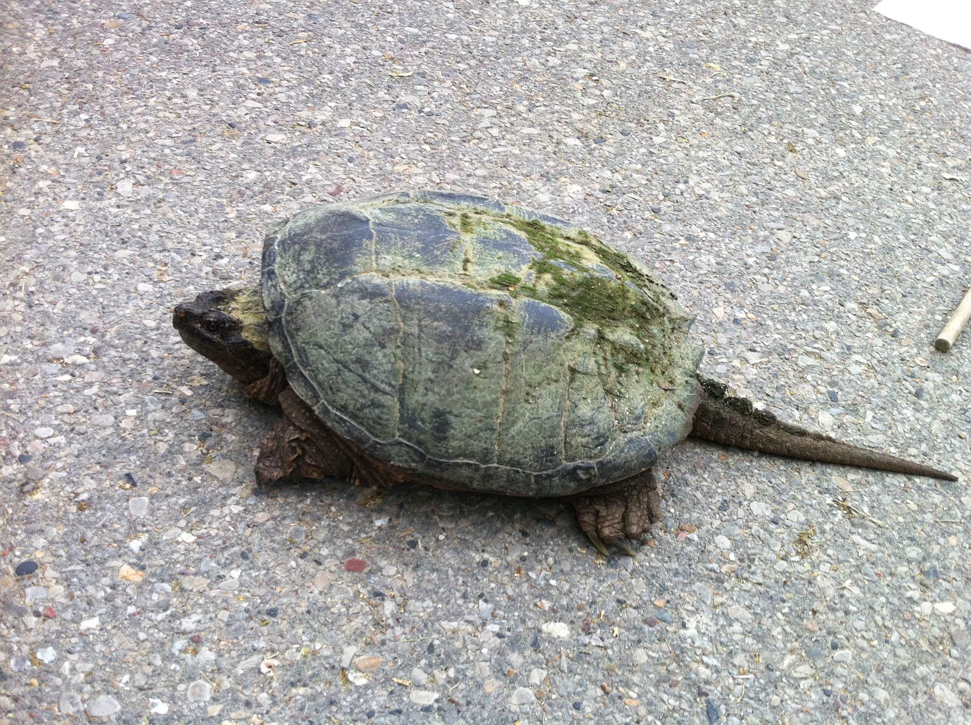 Snapping Turtle on Arbor Drive across from Ho-Nee-Um Pond on Lake Wingra in Madison, Wisconsin on June 5, 2015.
