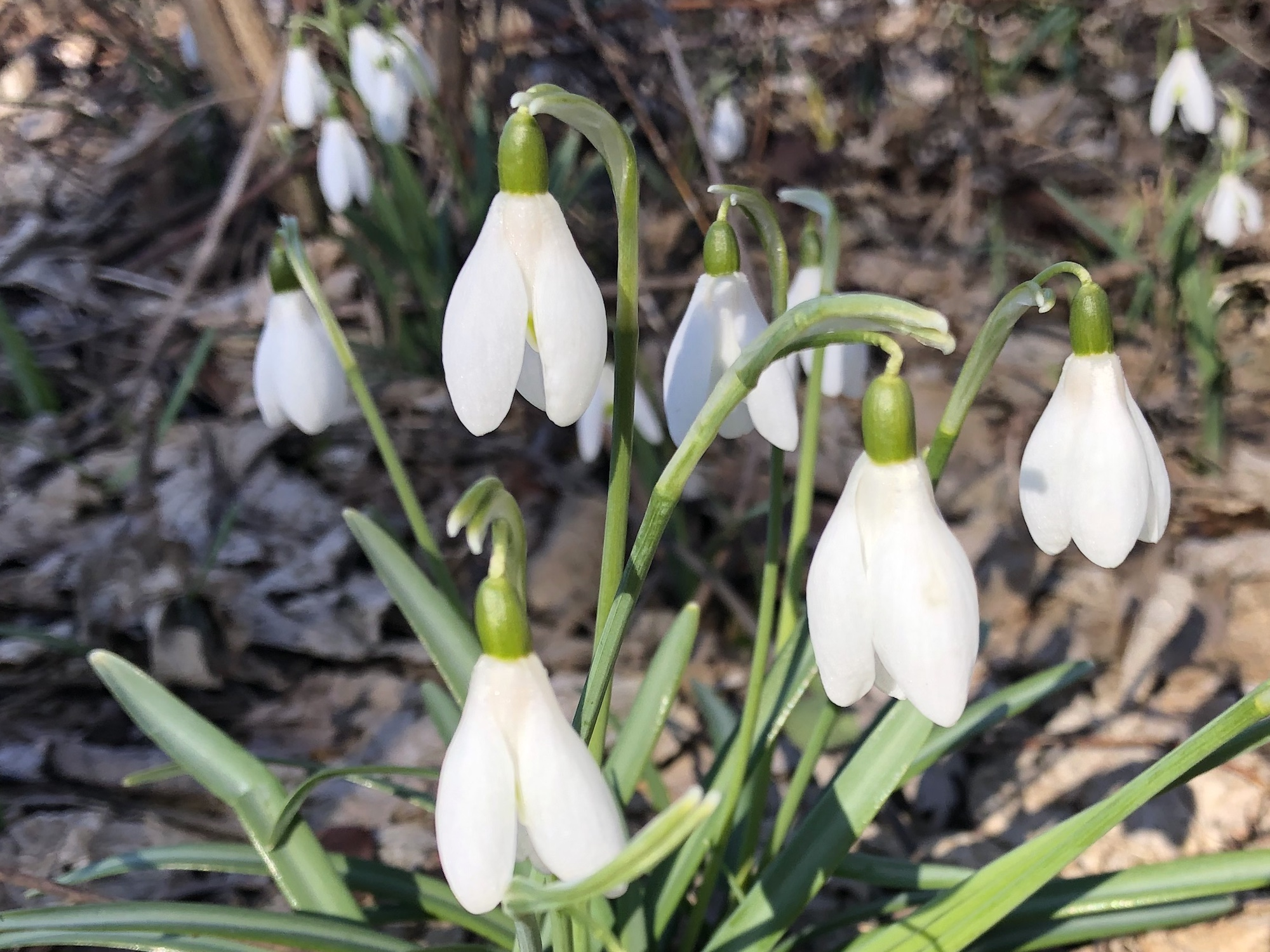 Snowdrops in woods between the Sycamore Tree on Arbor Drive and the bike path entrance to the Oak Savanna on March 15, 2020.