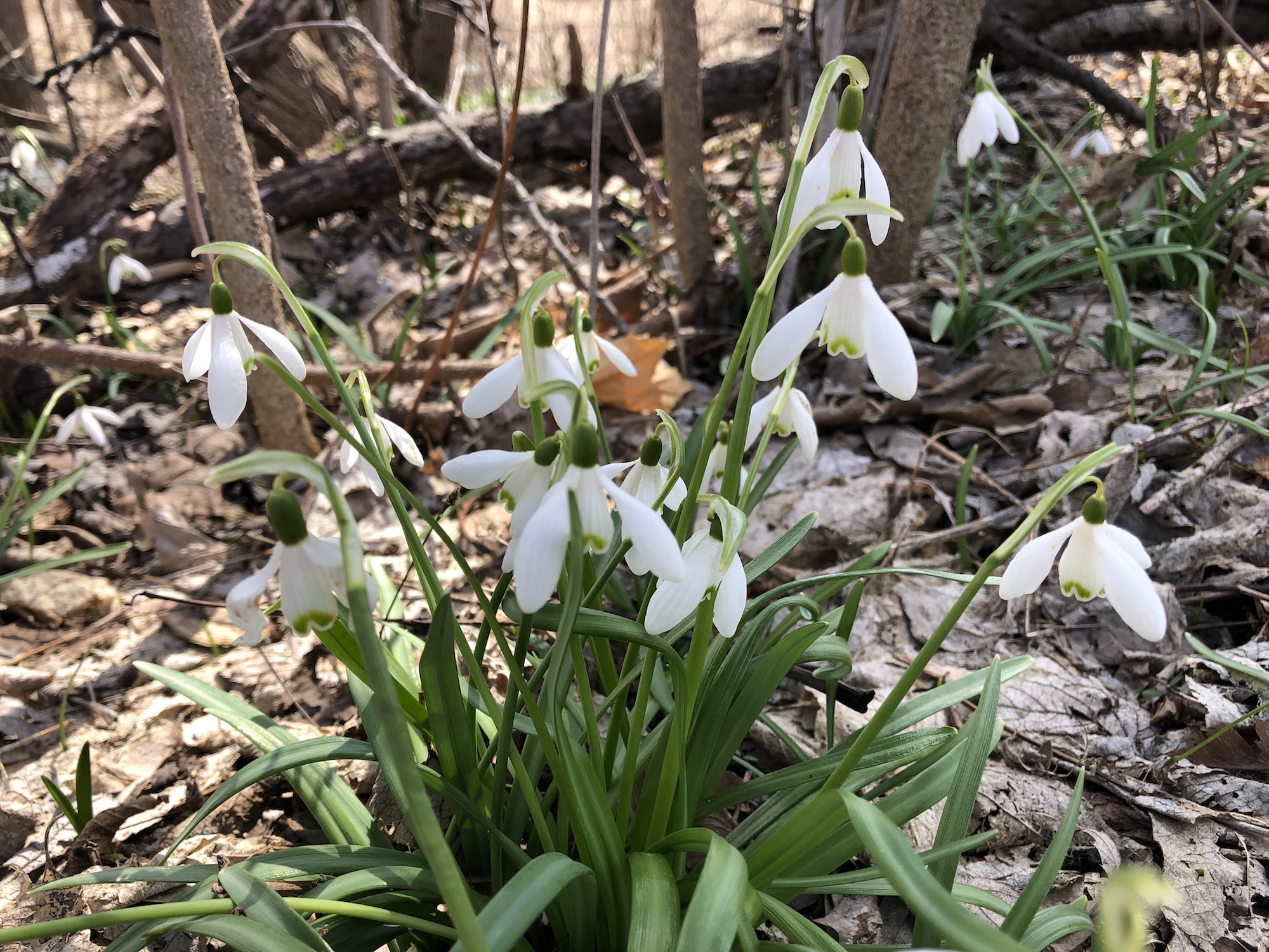 Snowdrops in woods between the Sycamore Tree on Arbor Drive and the bike path entrance to the Oak Savanna on March 30, 2020.