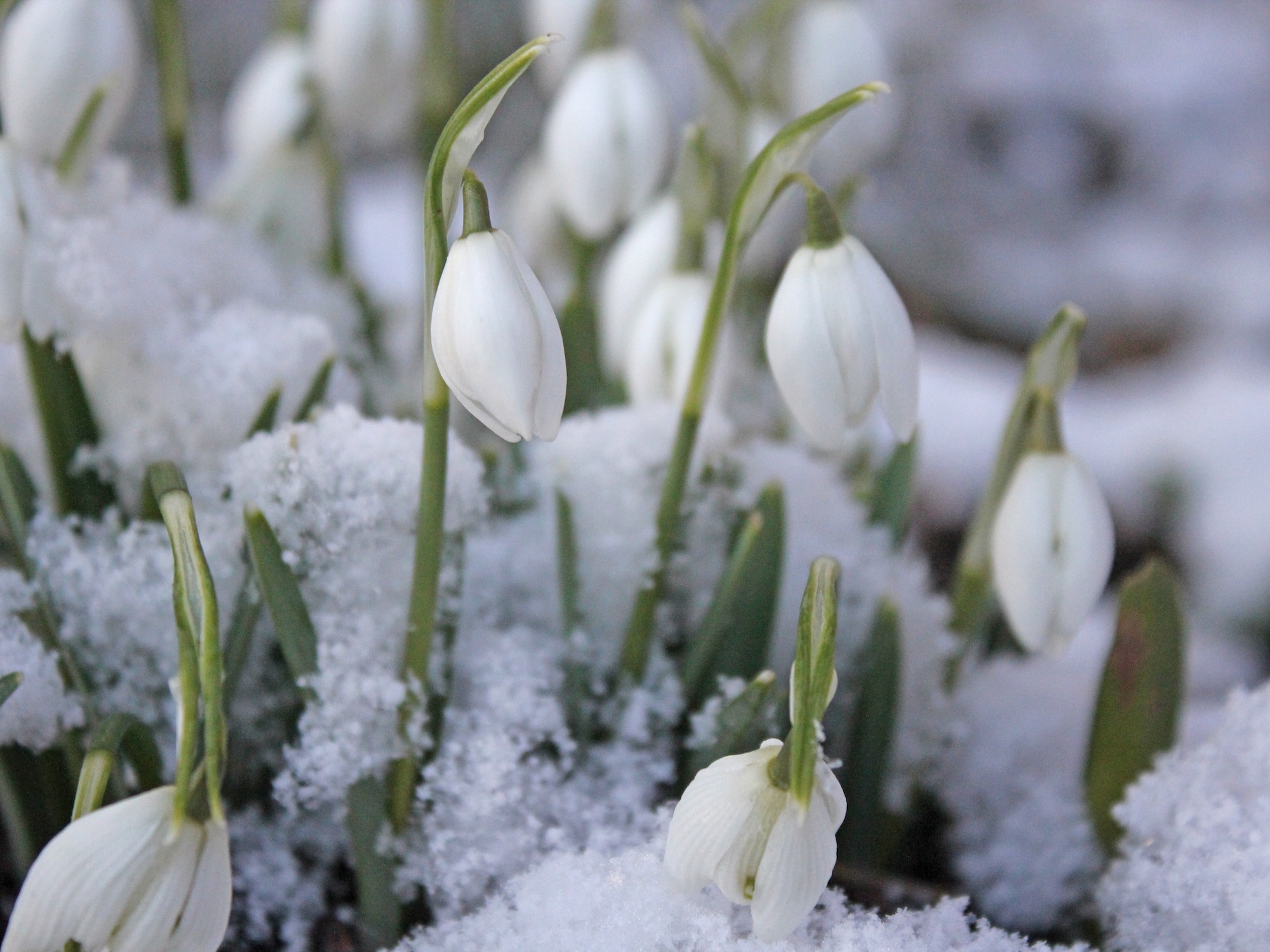 Snowdrops piercing snow cover.
