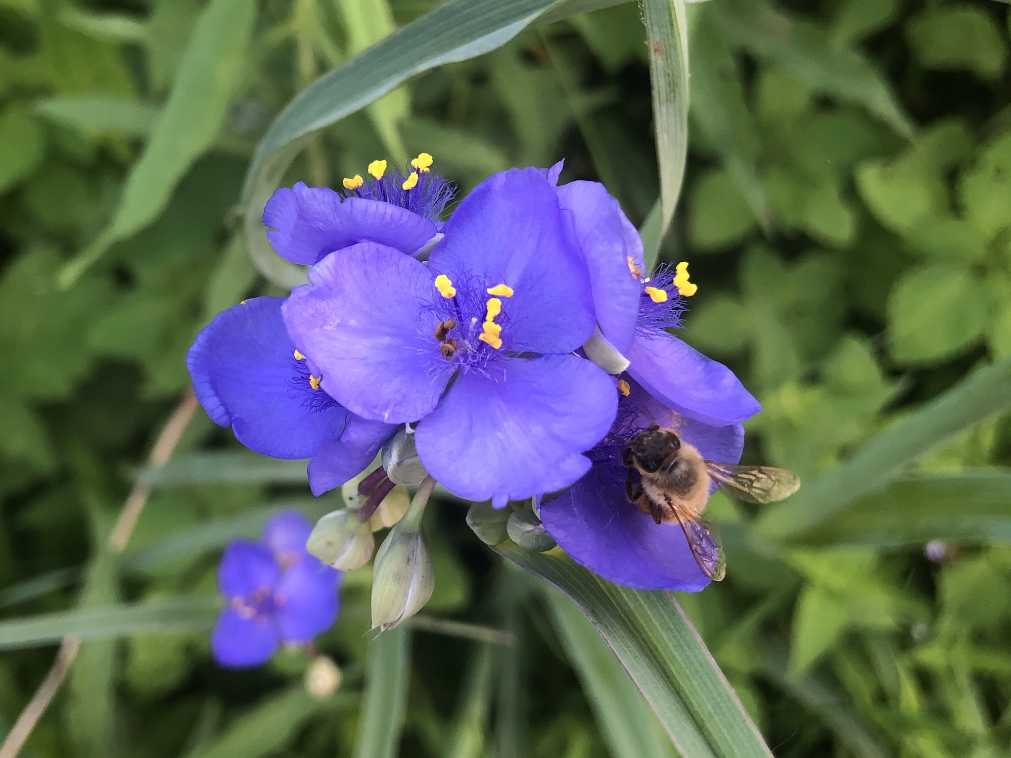 Bee on Spiderwort on June 9, 2020.