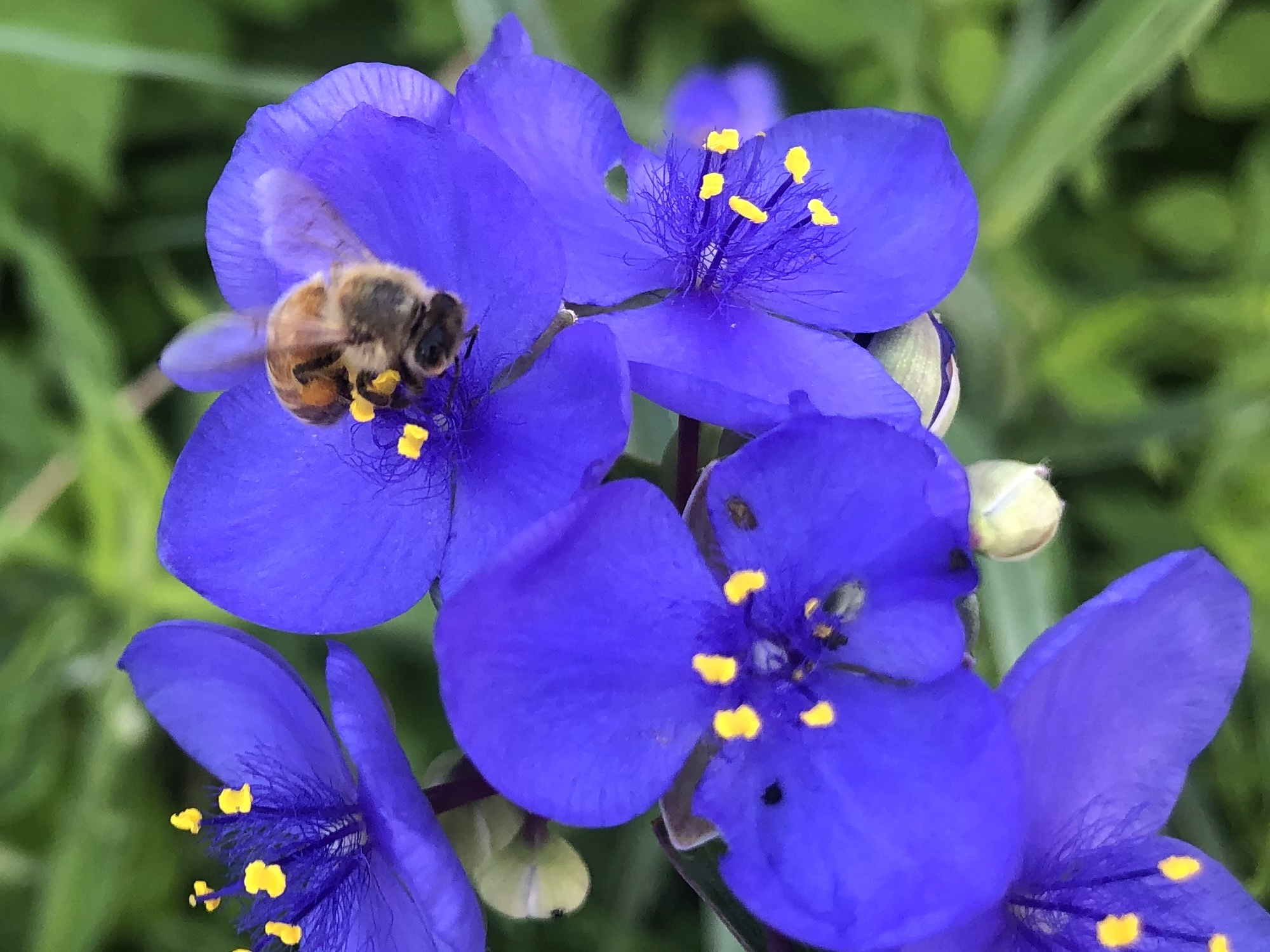 Honeybee on Spiderwort on June 9, 2020.