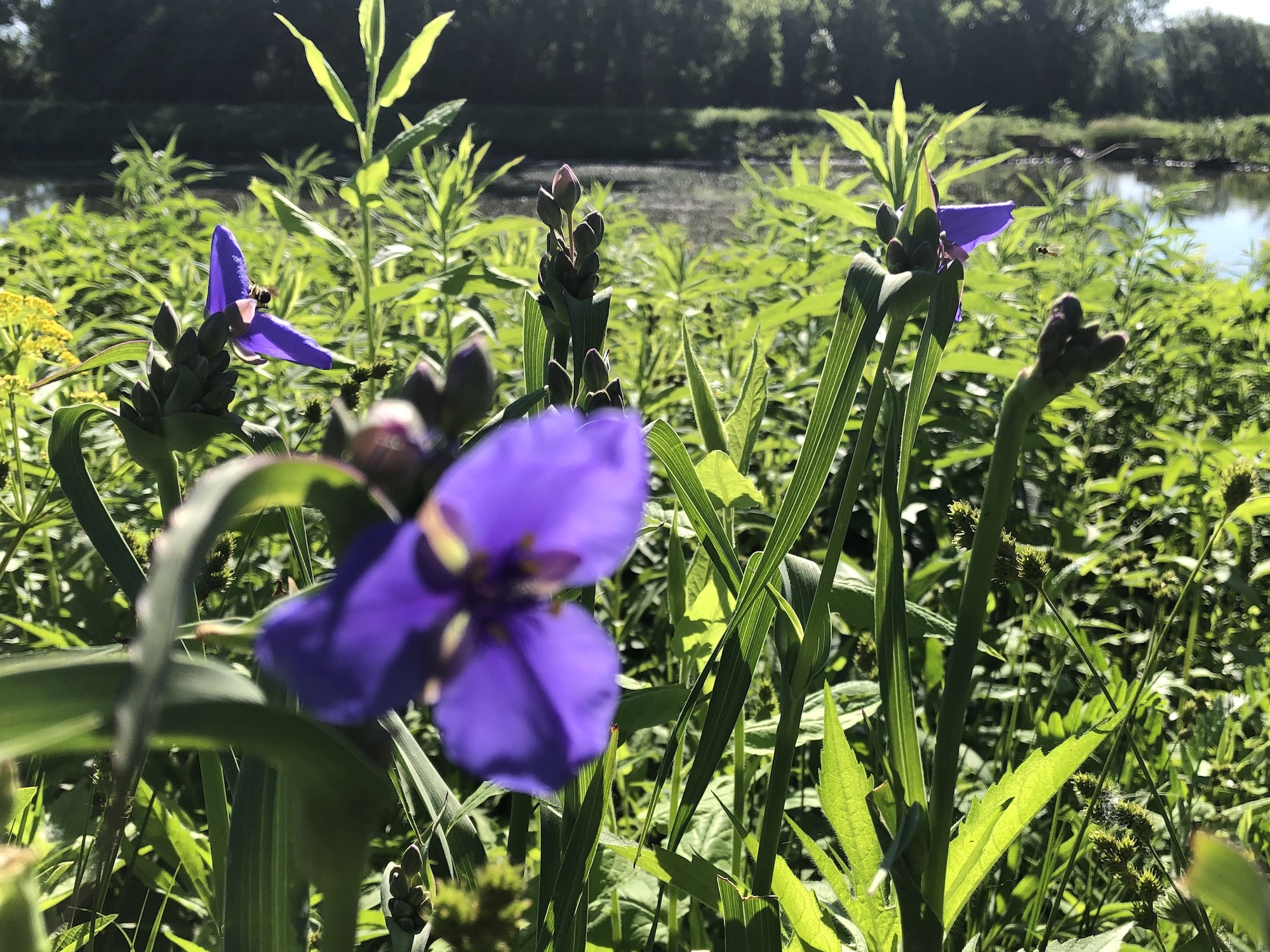 Spiderwort on bank of retaining pond in Madison, Wisconsin on June 8, 2019.