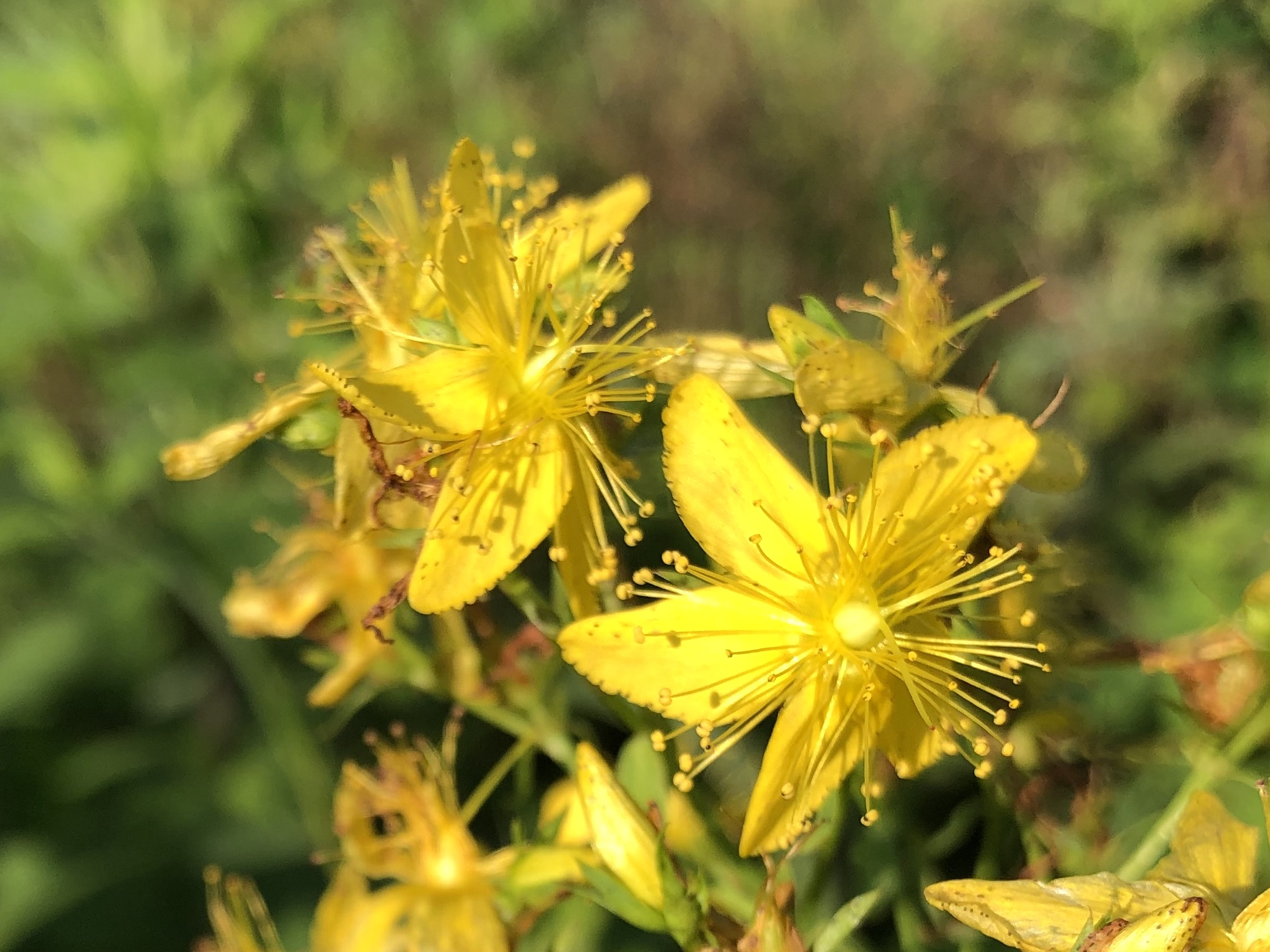 St. John's Wort on bank of Marion Dunn Pond on July 7, 219.