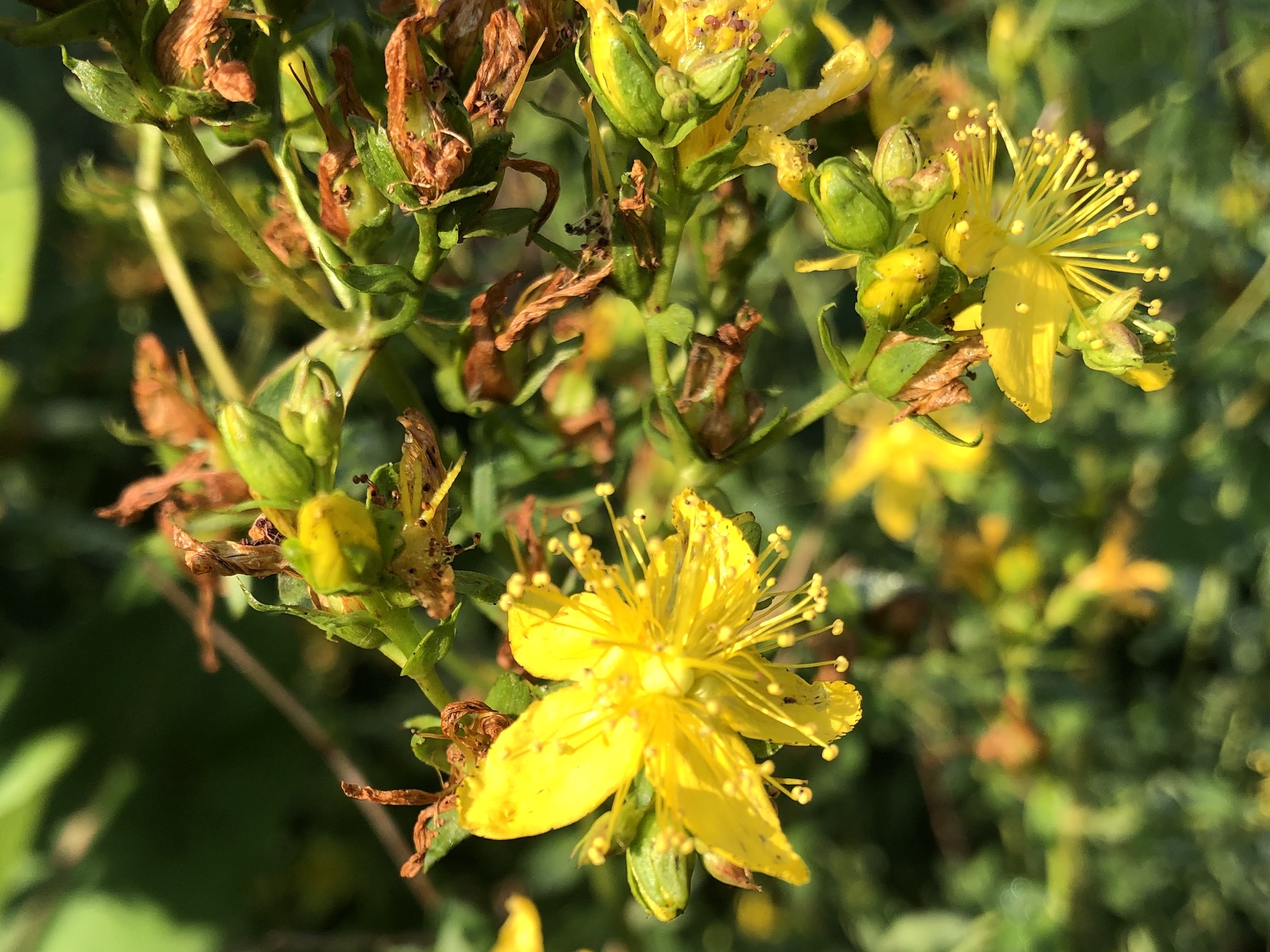 St. John's Wort on bank of Marion Dunn Pond on July 8, 2019.