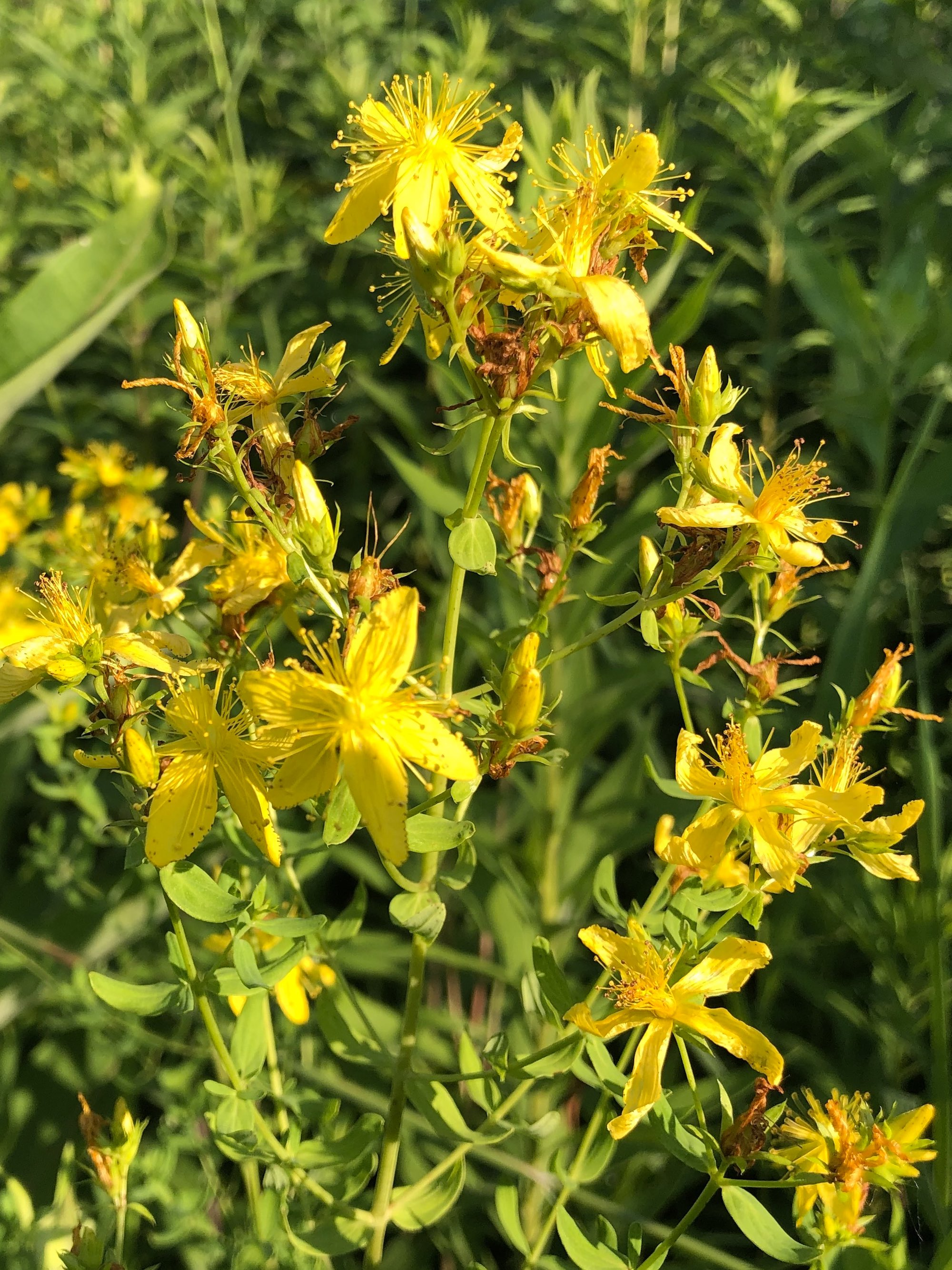 St. John's Wort on bank of Marion Dunn Pond on July 7, 2019.